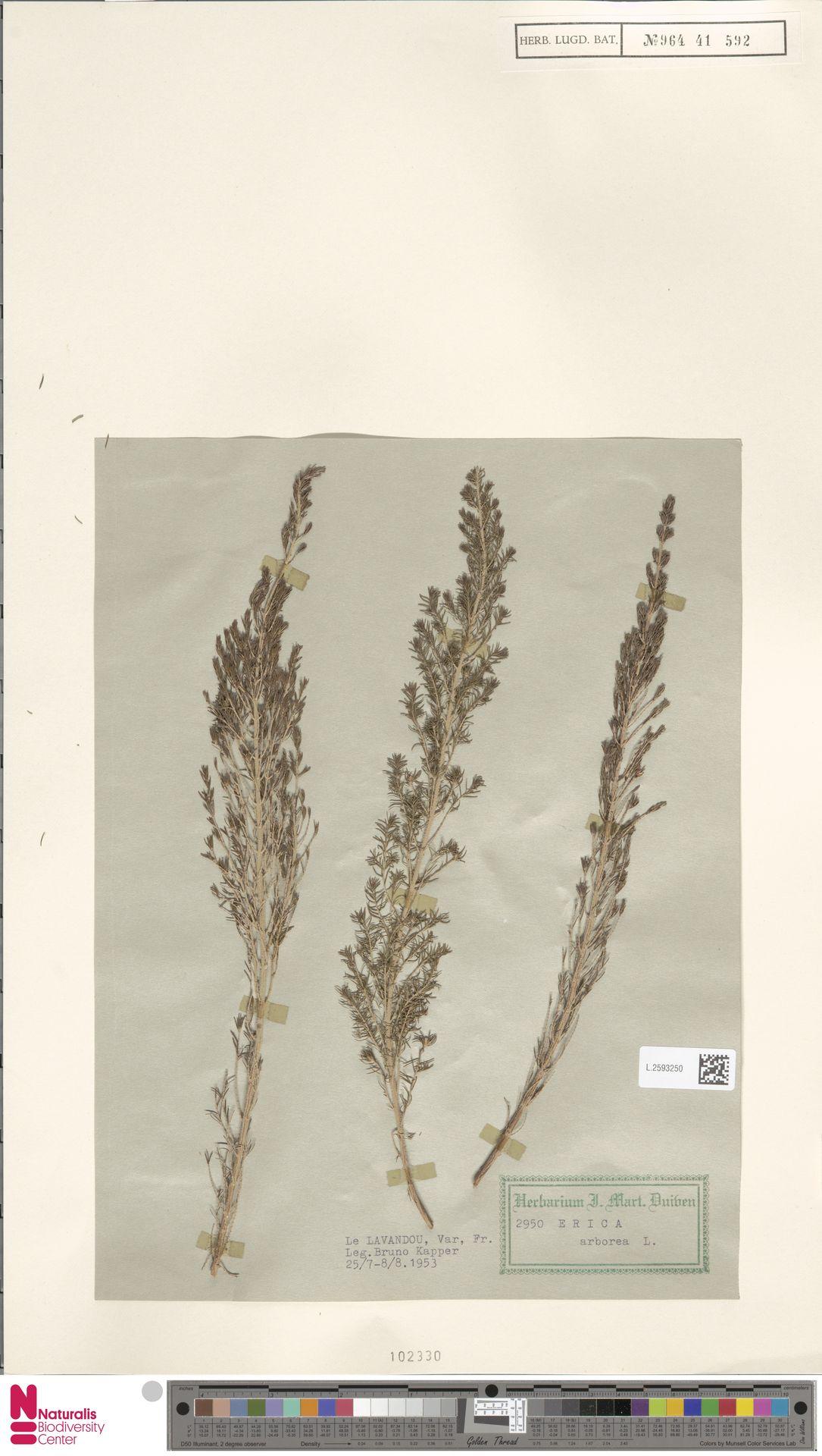 L.2593250 | Erica arborea L.