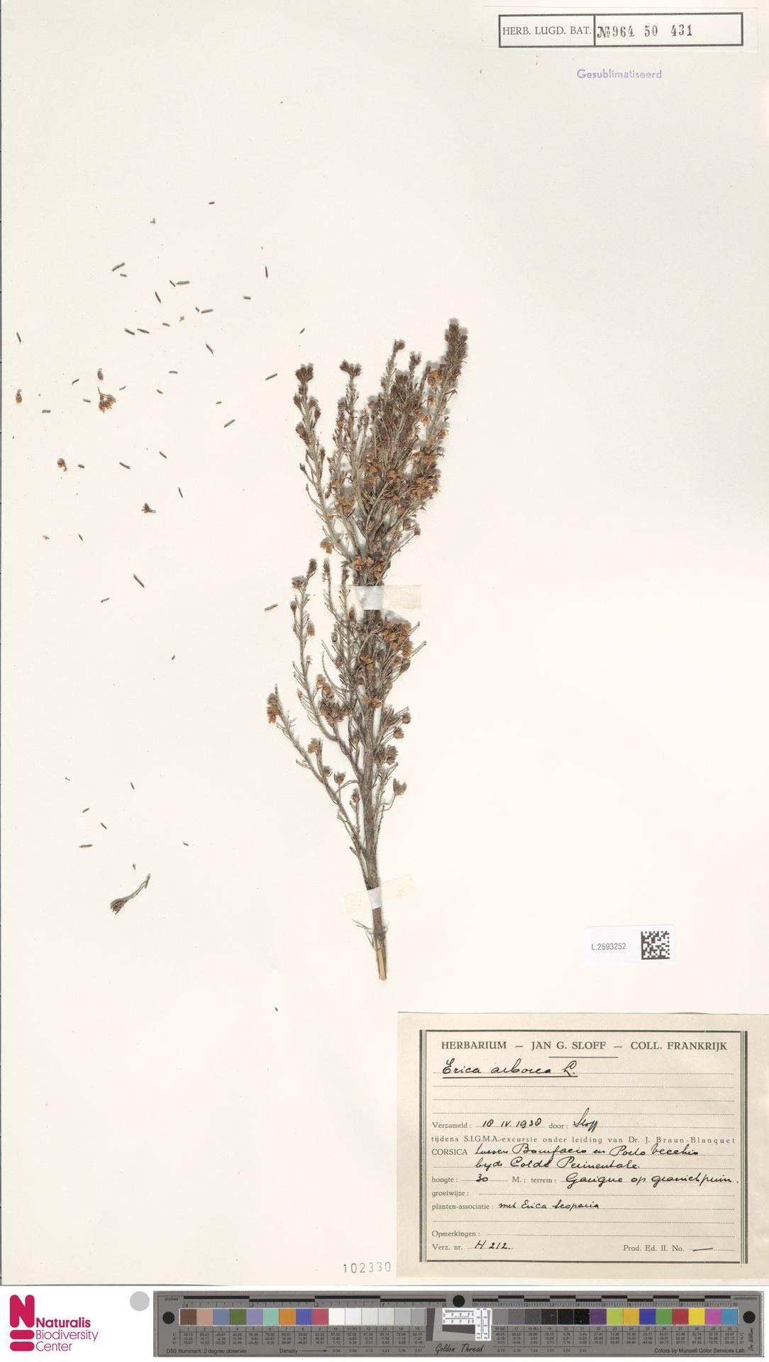 L.2593252   Erica arborea L.