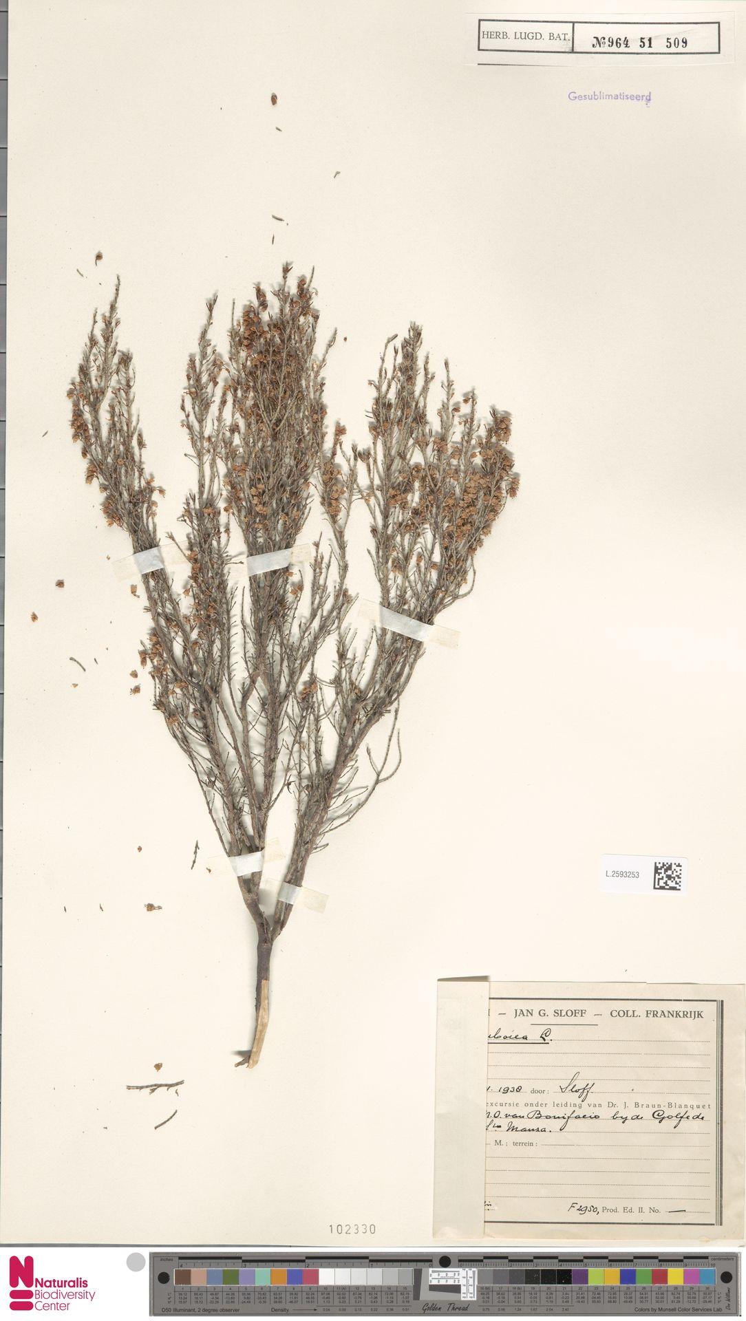 L.2593253 | Erica arborea L.