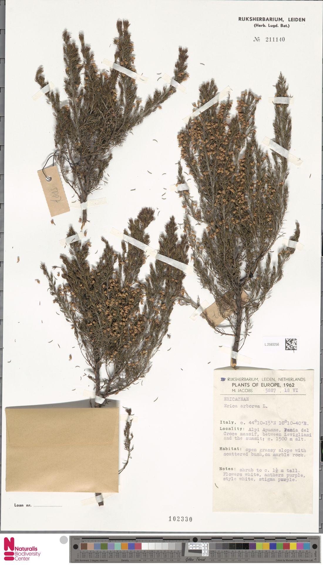 L.2593256 | Erica arborea L.