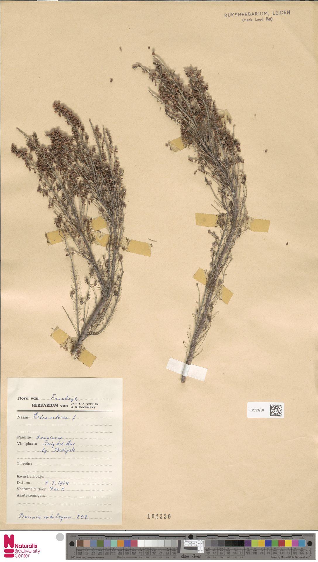 L.2593258 | Erica arborea L.