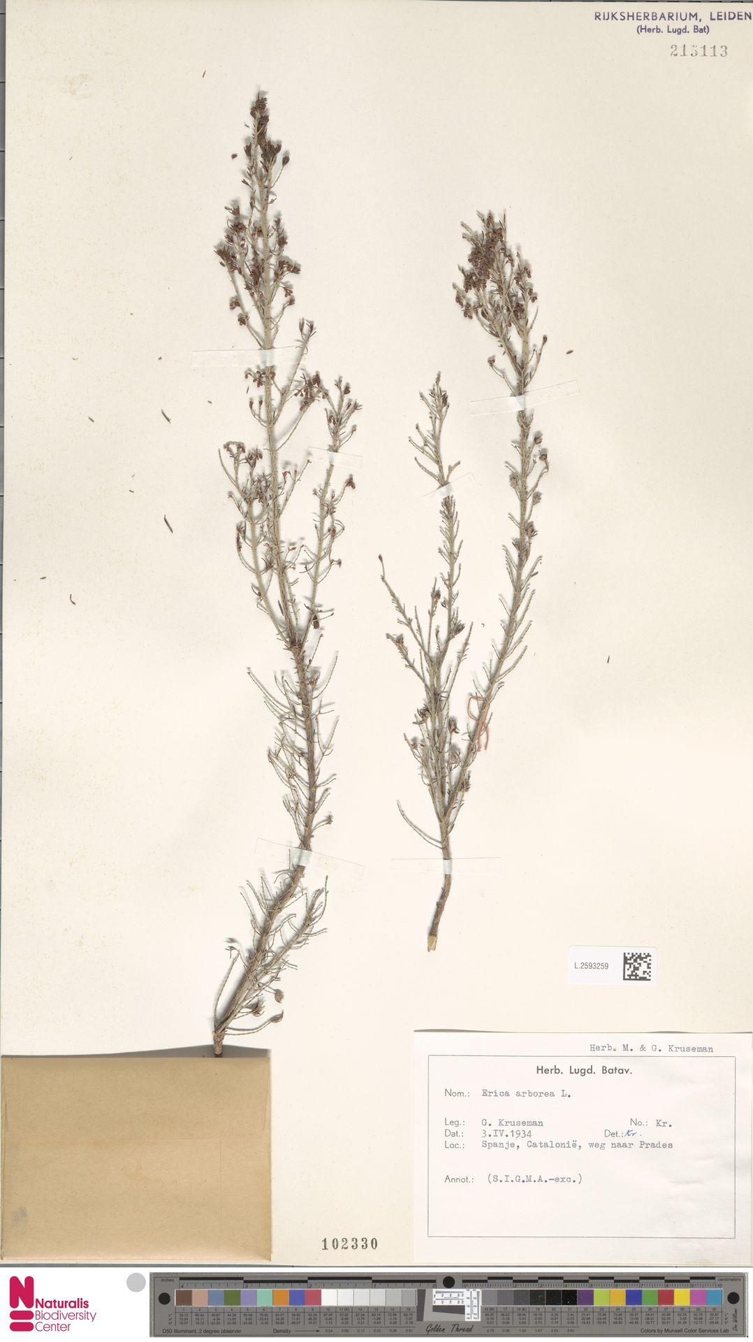 L.2593259 | Erica arborea L.