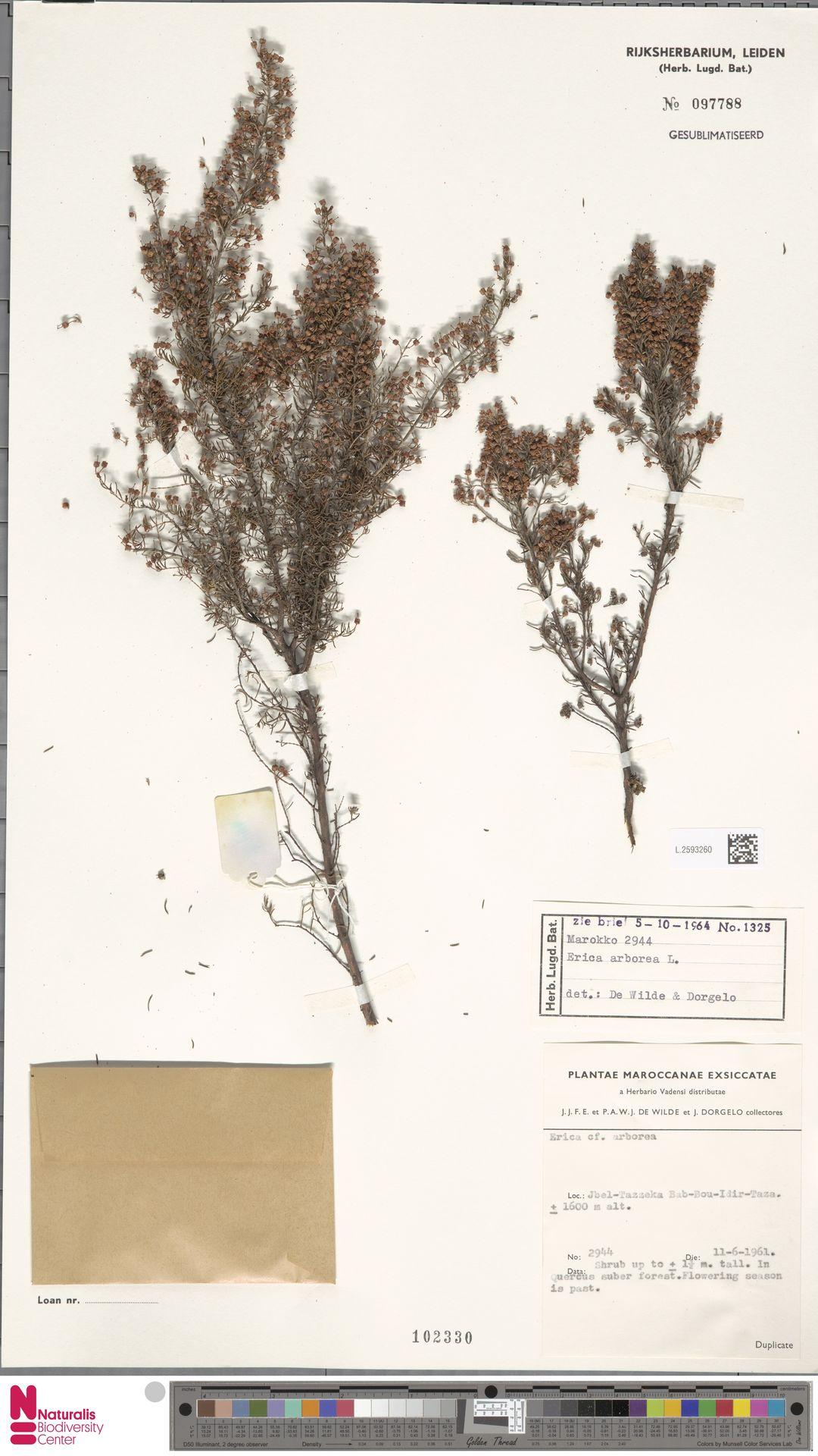 L.2593260 | Erica arborea L.