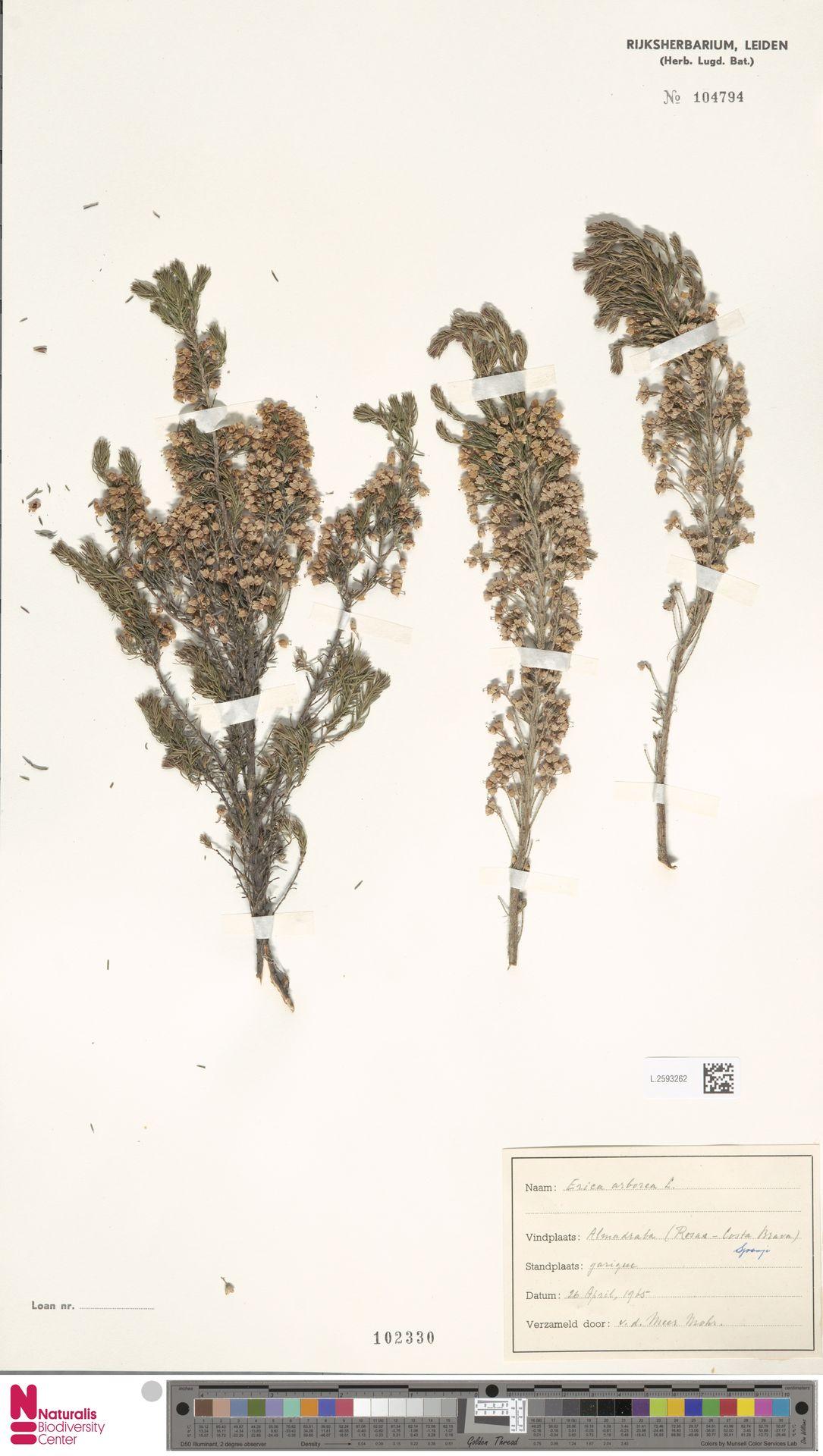 L.2593262 | Erica arborea L.