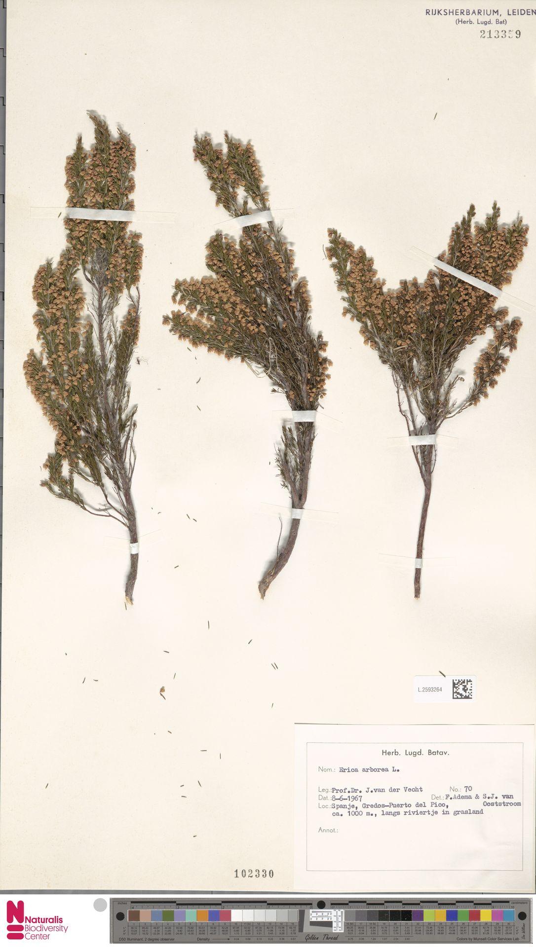 L.2593264 | Erica arborea L.