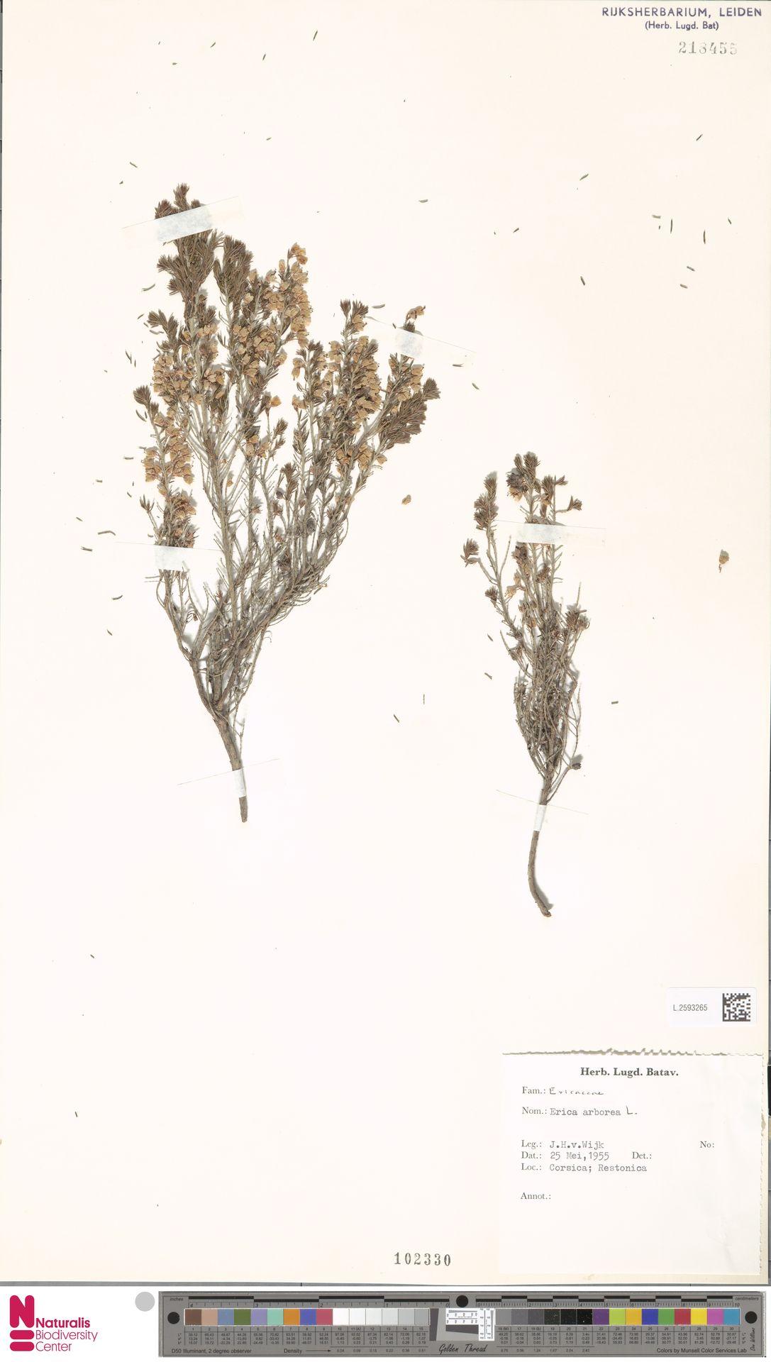 L.2593265 | Erica arborea L.