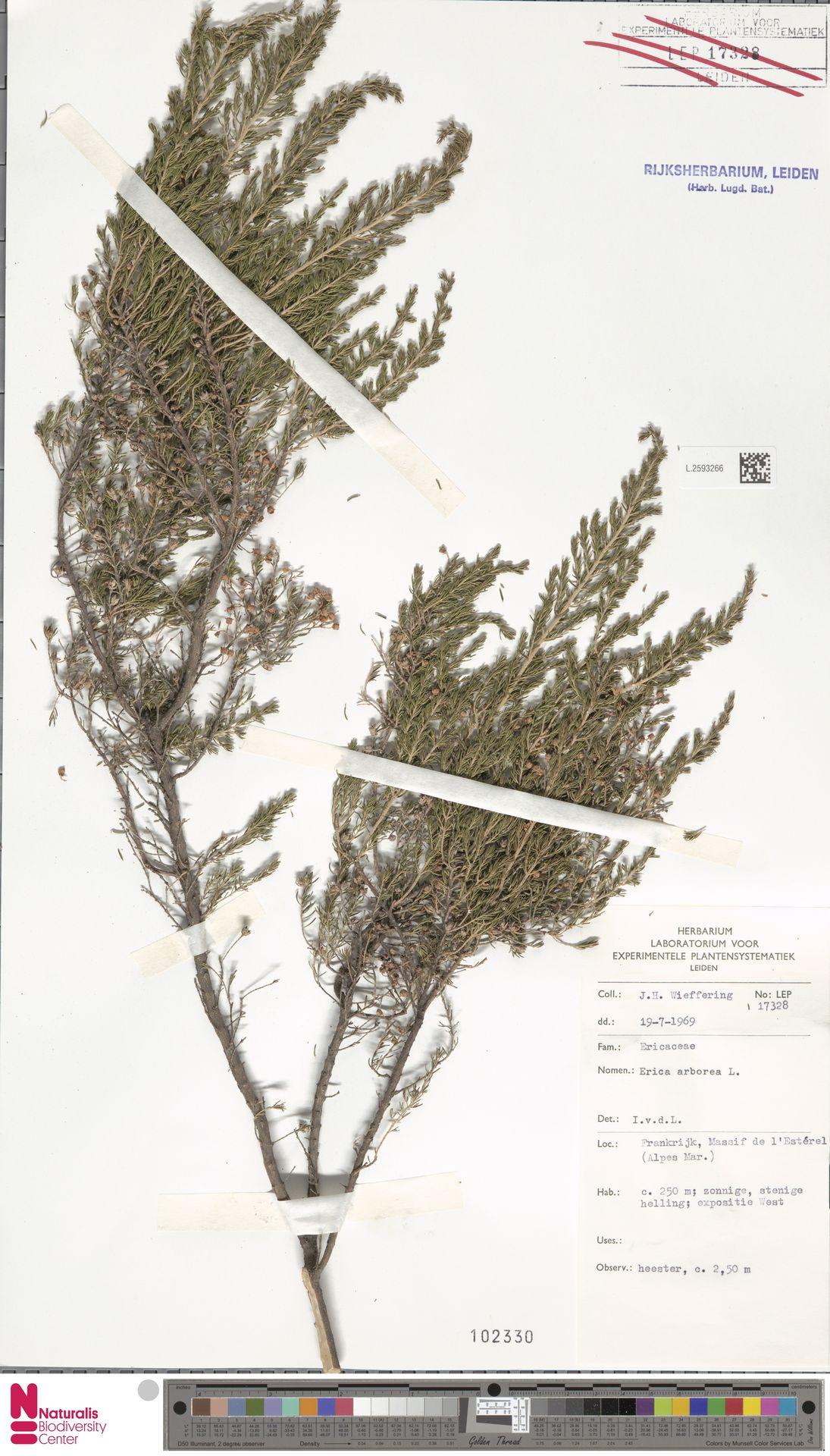 L.2593266   Erica arborea L.