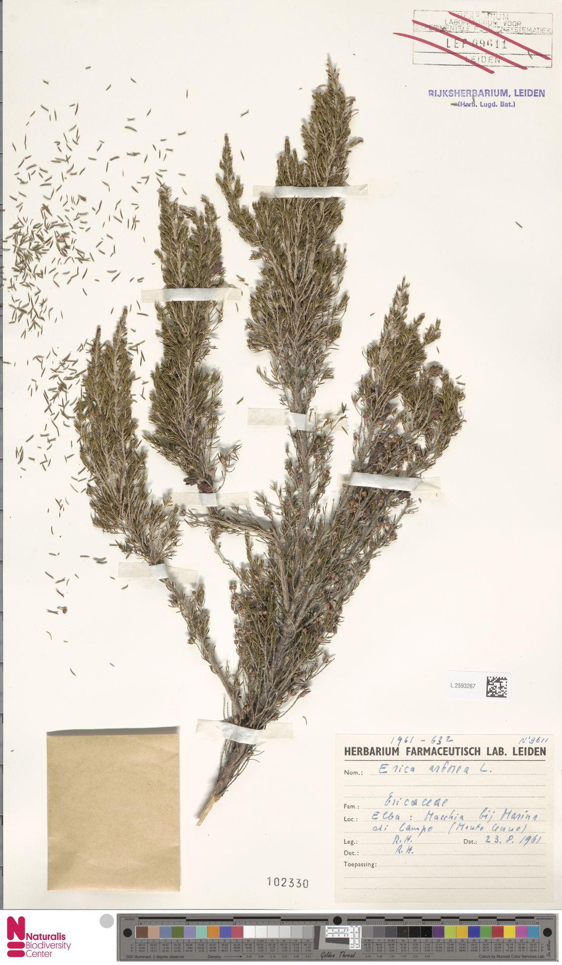 L.2593267 | Erica arborea L.