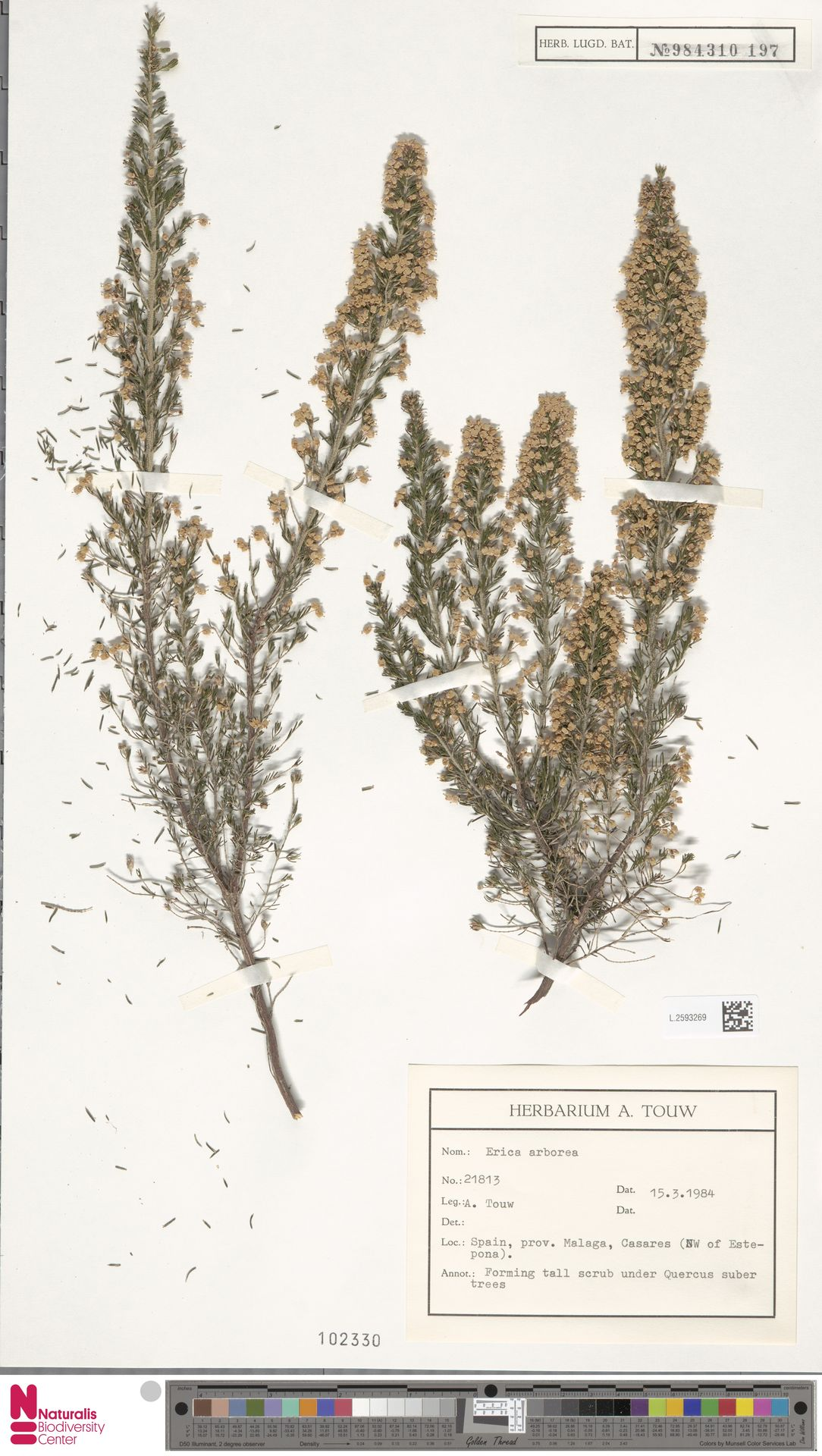 L.2593269 | Erica arborea L.