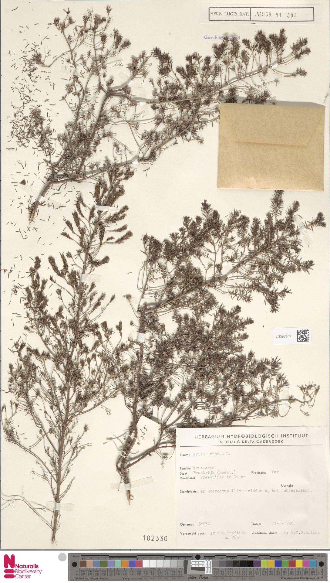 L.2593270 | Erica arborea L.