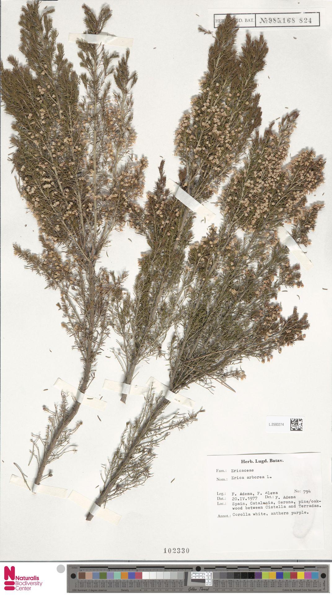 L.2593274   Erica arborea L.