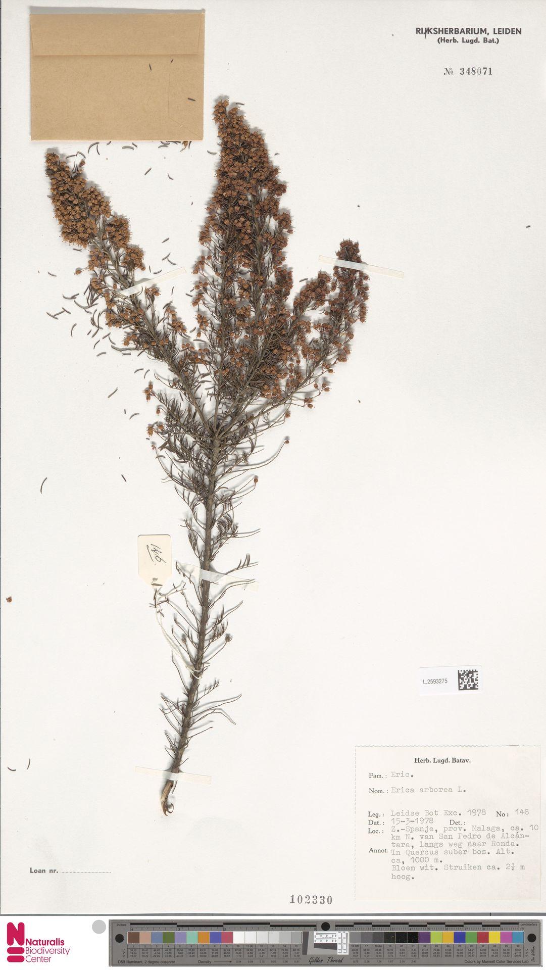 L.2593275 | Erica arborea L.