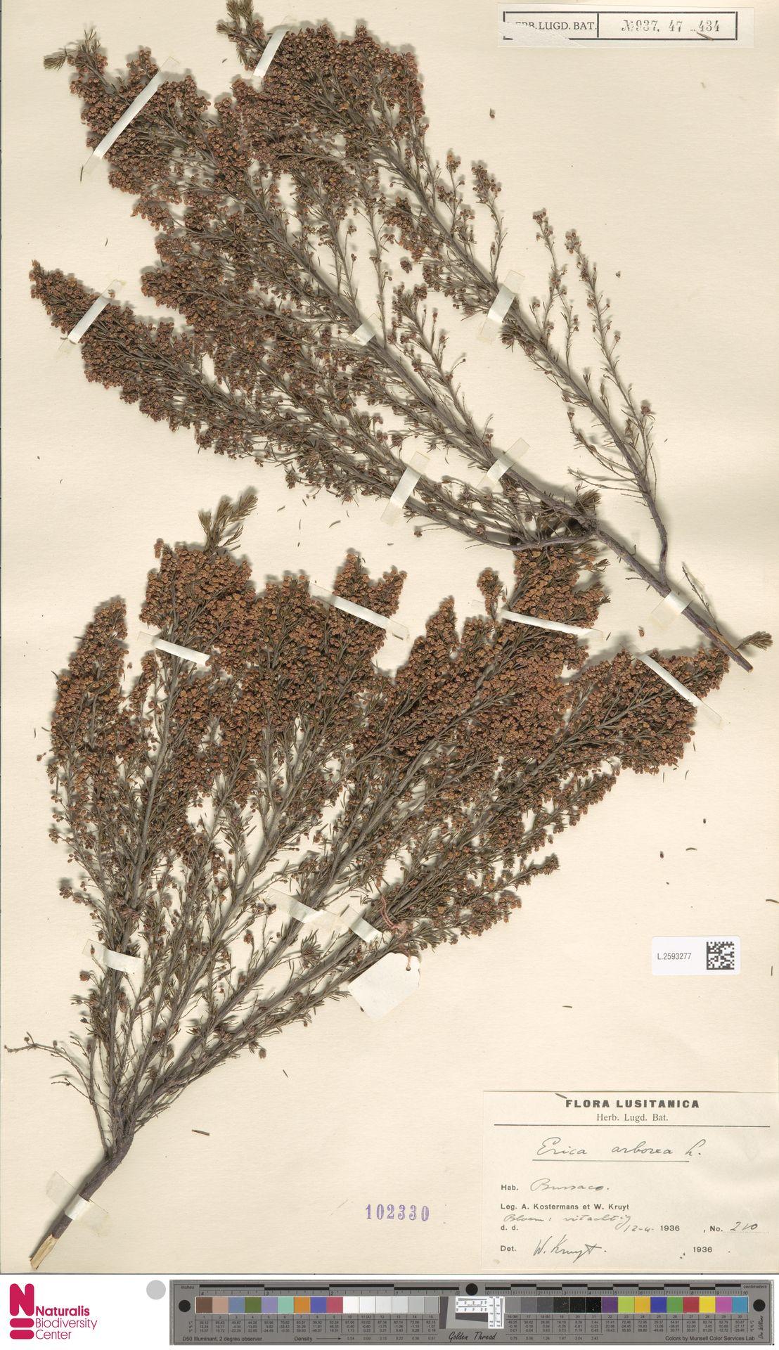 L.2593277 | Erica arborea L.