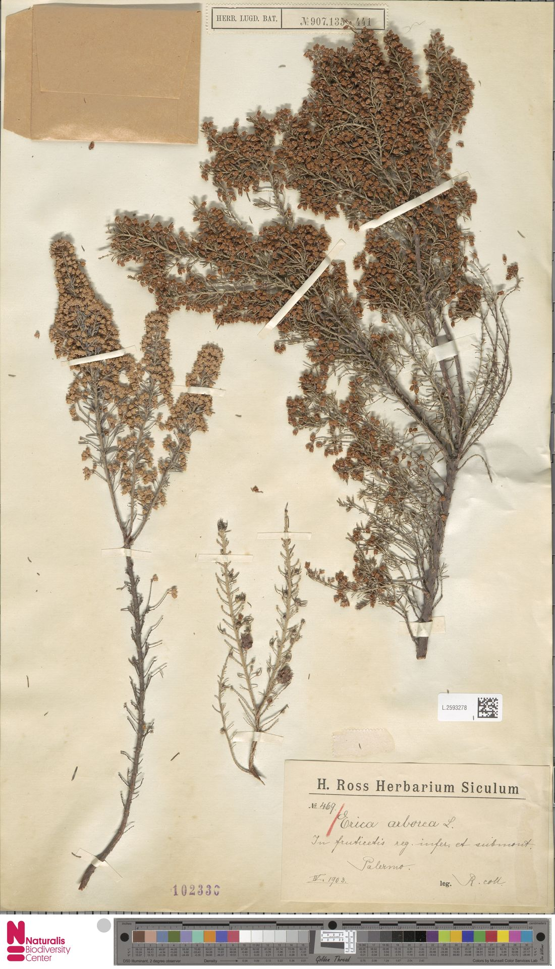 L.2593278 | Erica arborea L.
