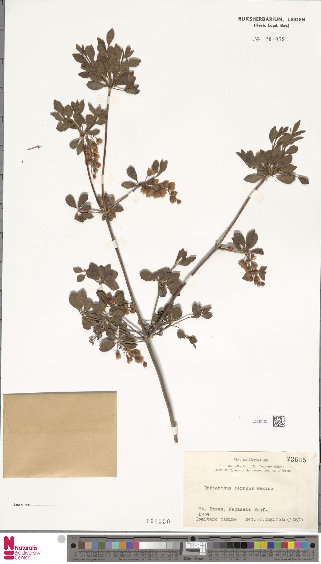 L.2593422 | Enkianthus cernuus (Siebold & Zucc.) Makino