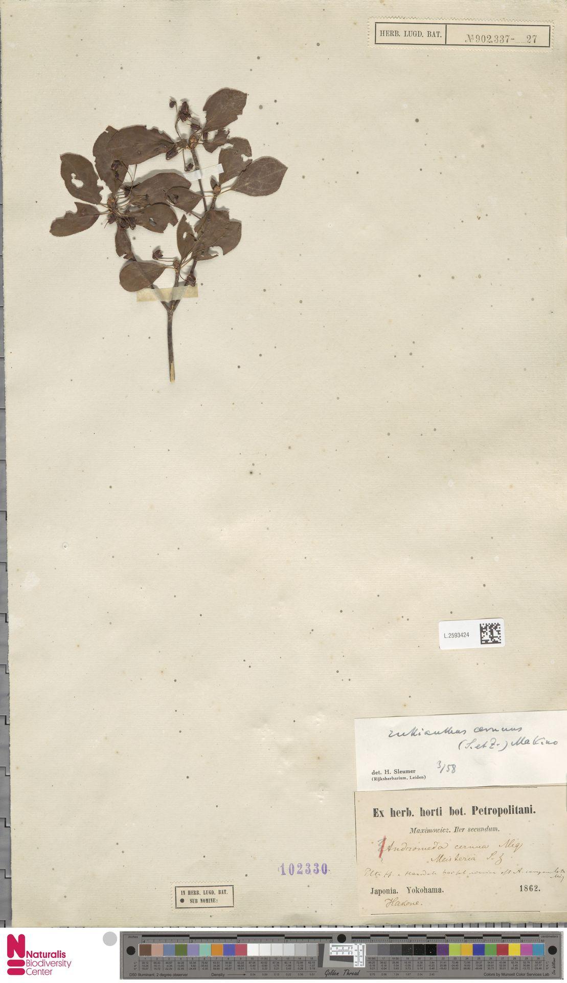 L.2593424 | Enkianthus cernuus (Siebold & Zucc.) Makino