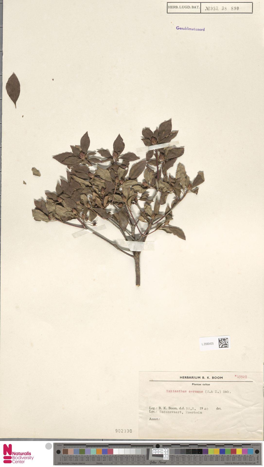 L.2593425   Enkianthus cernuus (Siebold & Zucc.) Makino