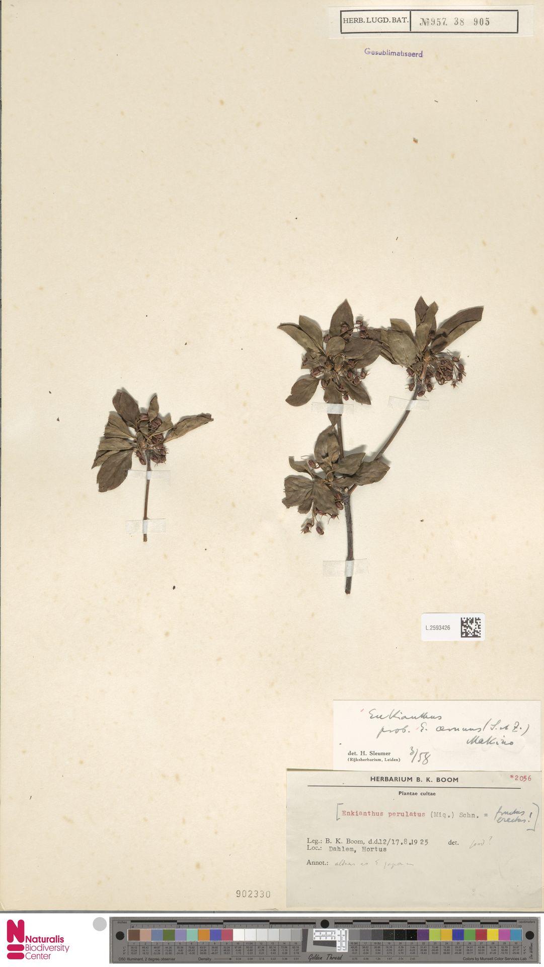 L.2593426 | Enkianthus cernuus (Siebold & Zucc.) Makino