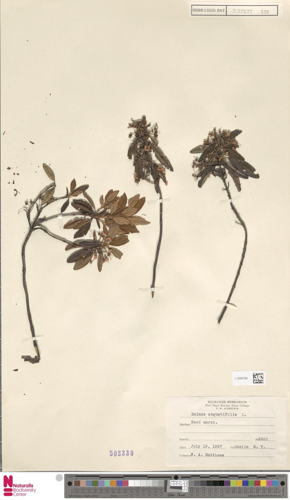L.2593795 | Kalmia angustifolia L.