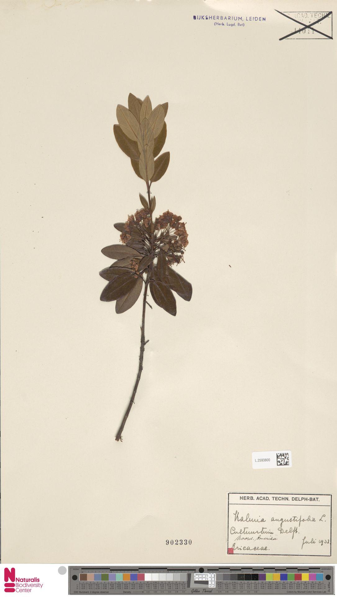 L.2593800 | Kalmia angustifolia L.