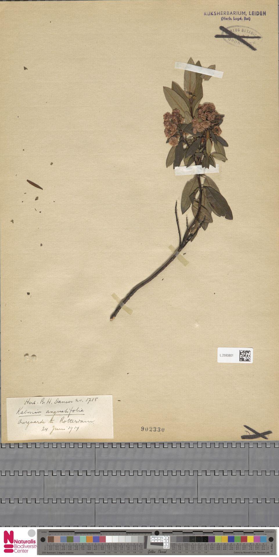L.2593801 | Kalmia angustifolia L.