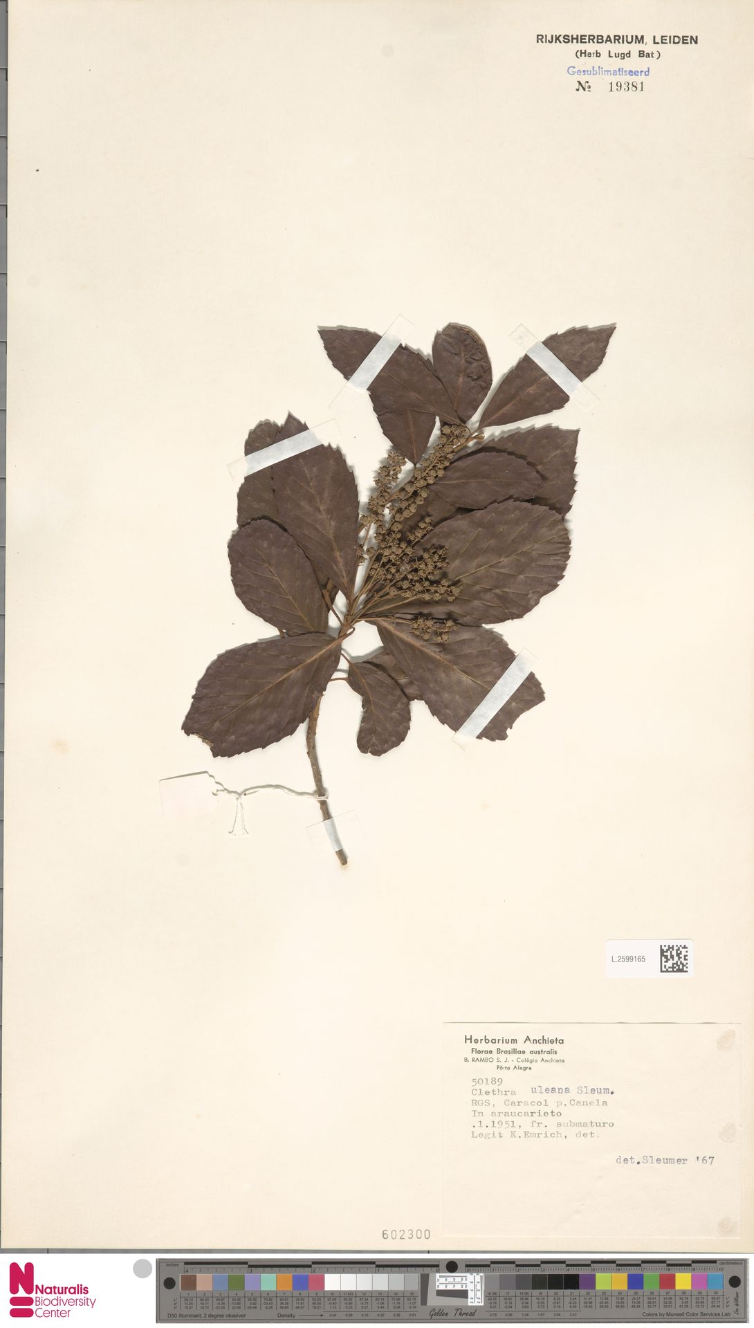 L.2599165 | Clethra uleana Sleumer