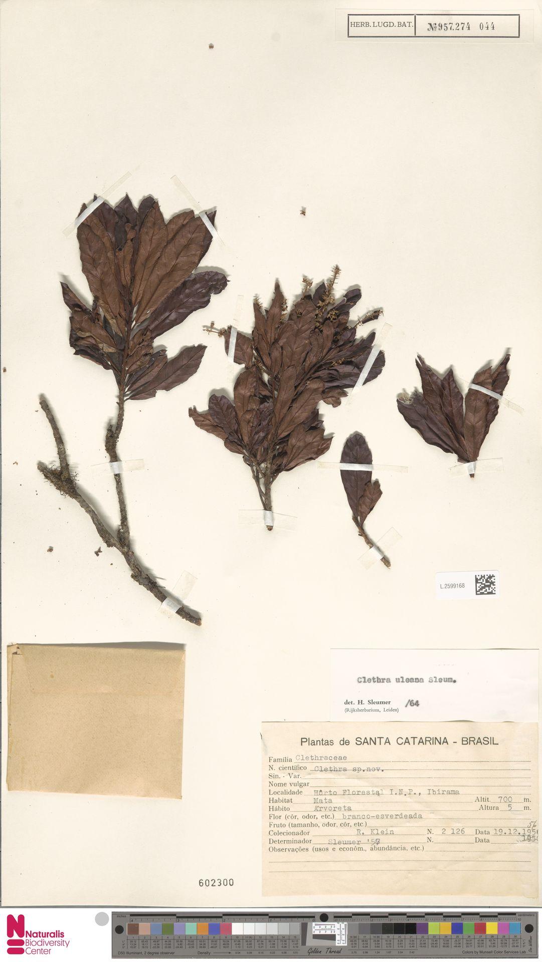 L.2599168 | Clethra uleana Sleumer