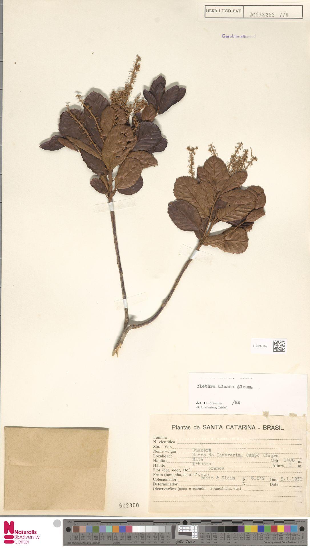L.2599169 | Clethra uleana Sleumer