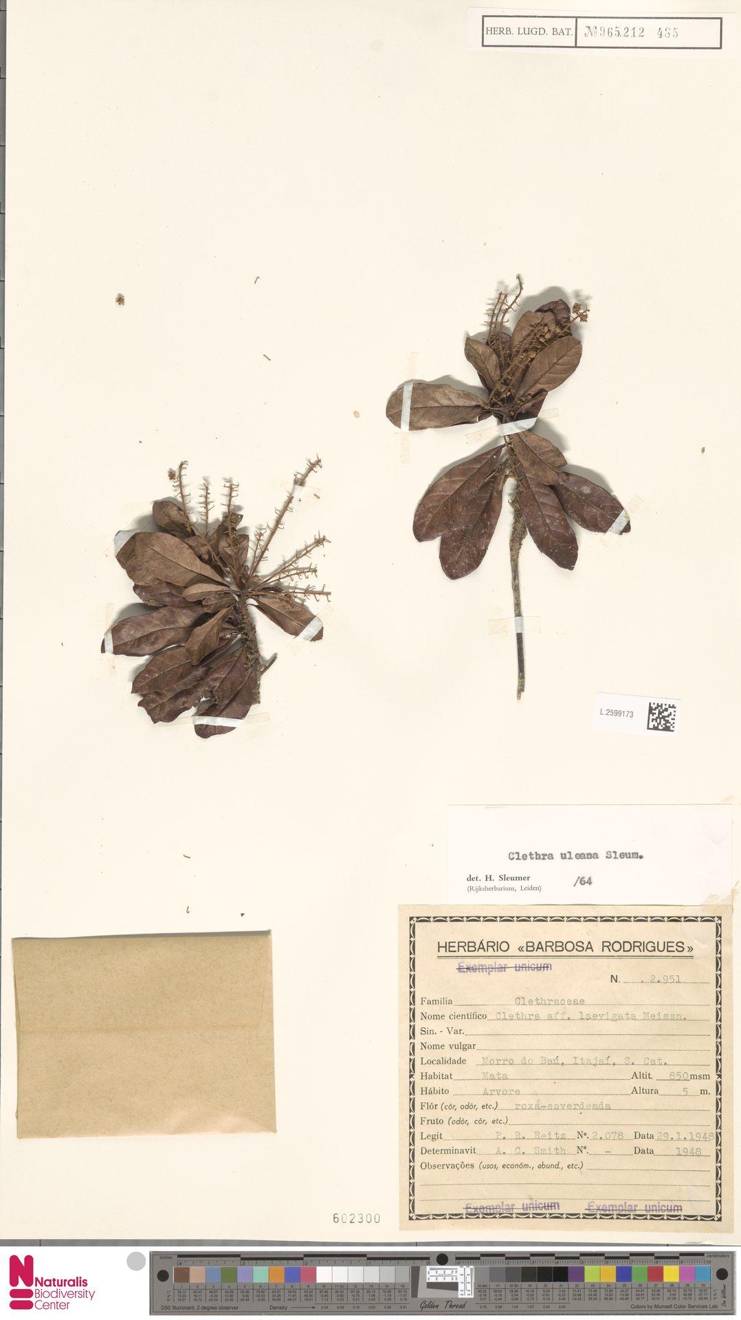 L.2599173 | Clethra uleana Sleumer