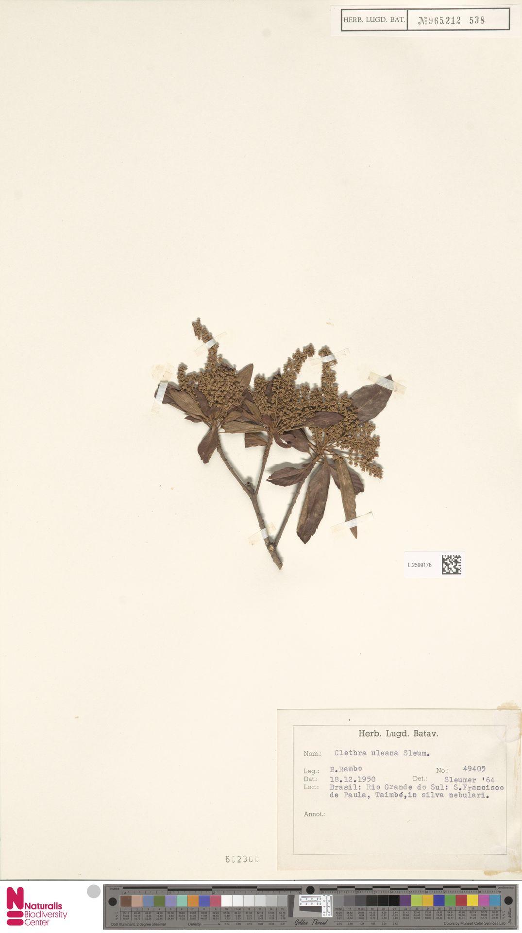 L.2599176 | Clethra uleana Sleumer