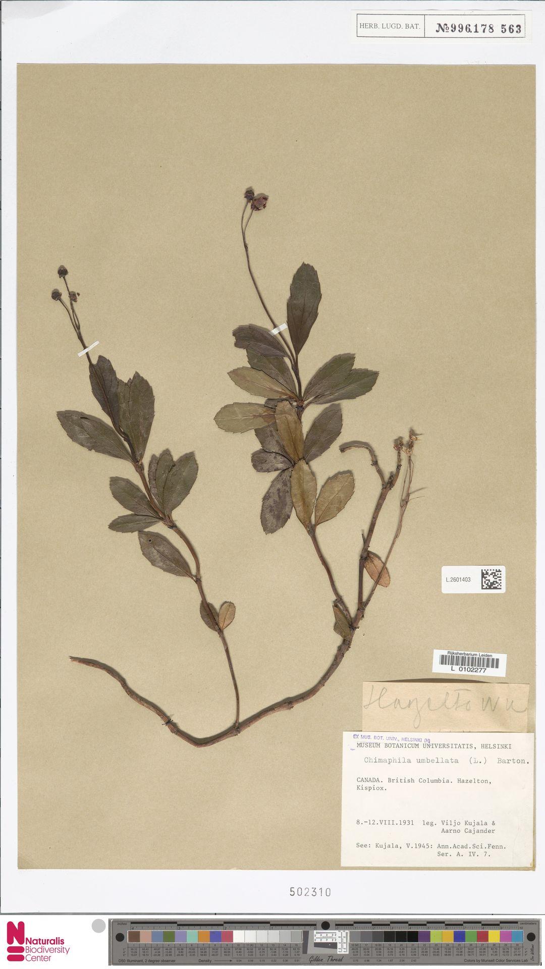 L.2601403 | Chimaphila umbellata (L.) W.C.Barton