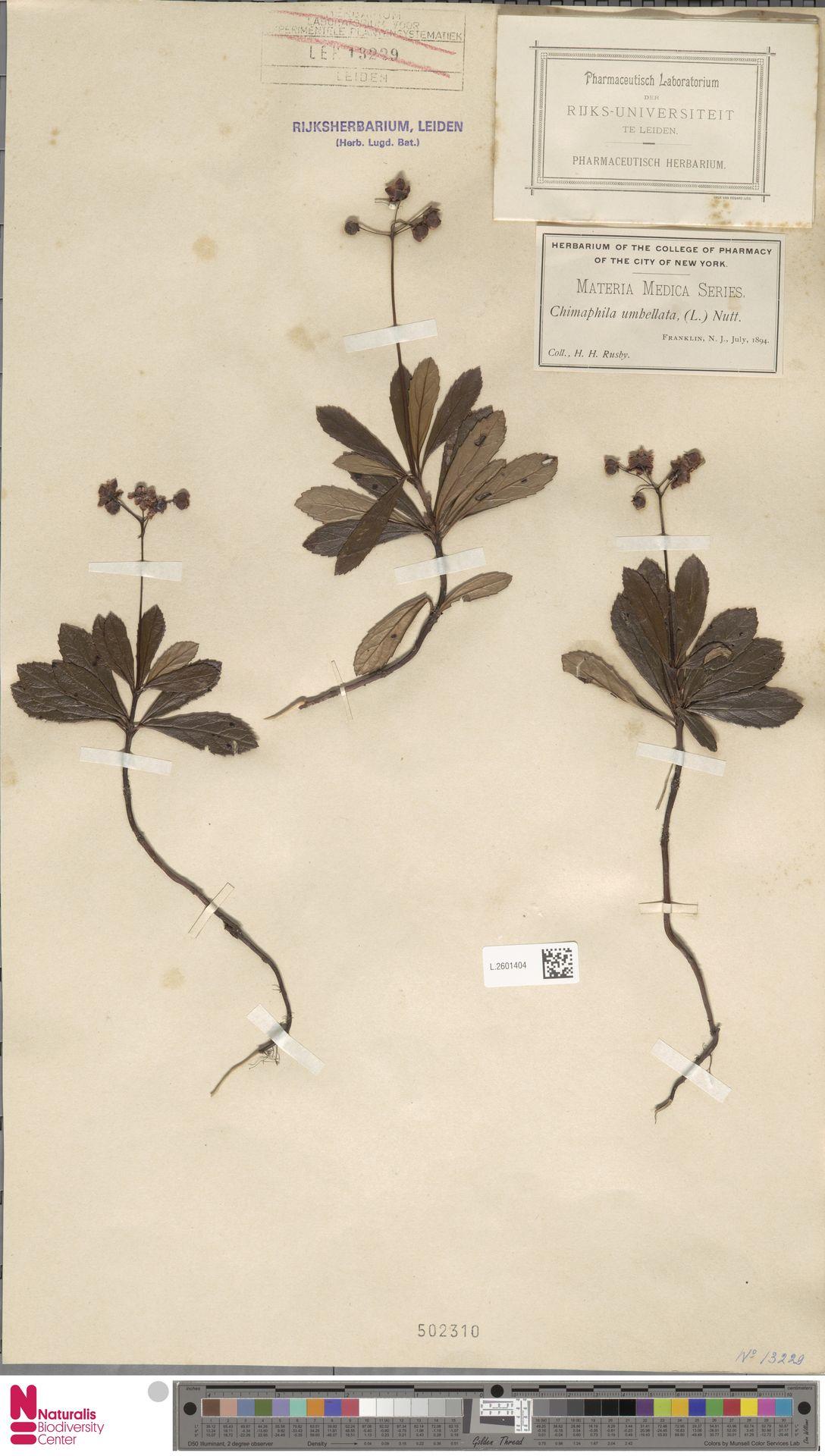L.2601404 | Chimaphila umbellata (L.) W.C.Barton