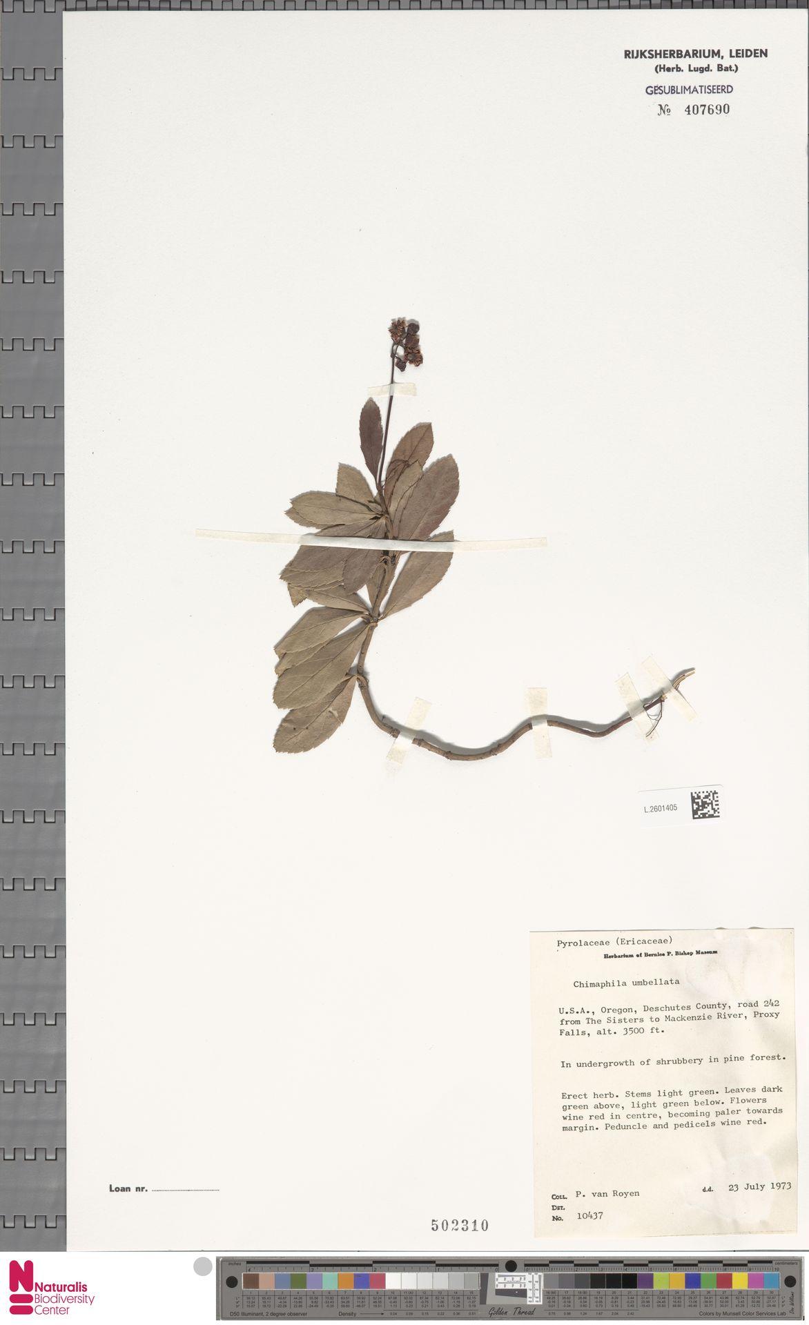 L.2601405 | Chimaphila umbellata (L.) W.C.Barton