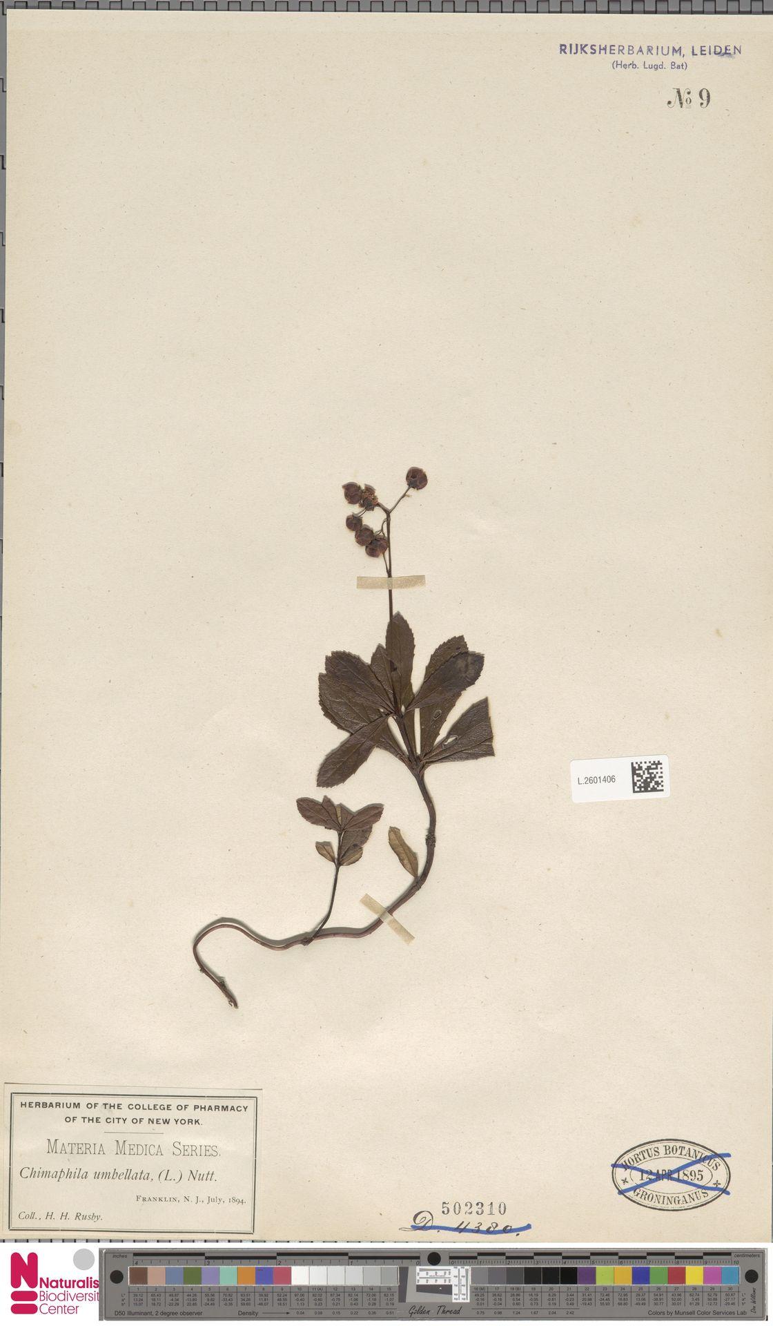 L.2601406 | Chimaphila umbellata (L.) W.C.Barton
