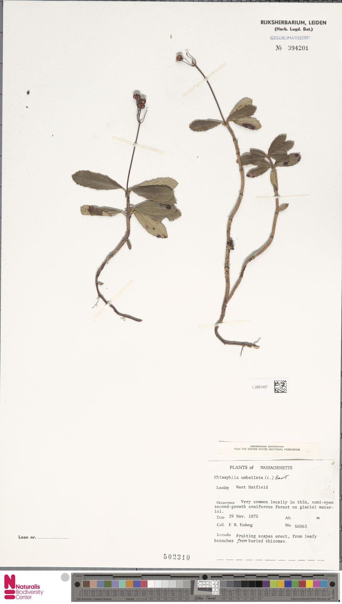 L.2601407 | Chimaphila umbellata (L.) W.C.Barton