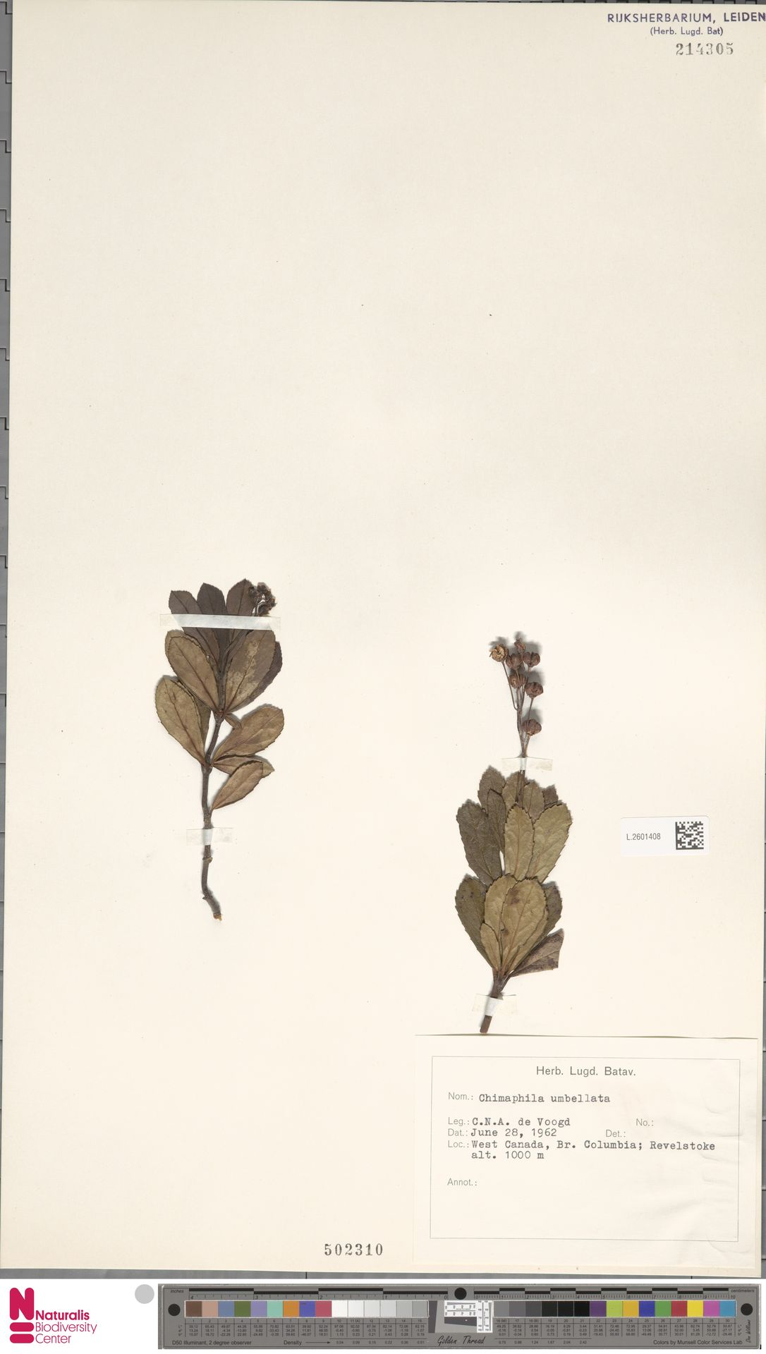 L.2601408 | Chimaphila umbellata (L.) W.C.Barton