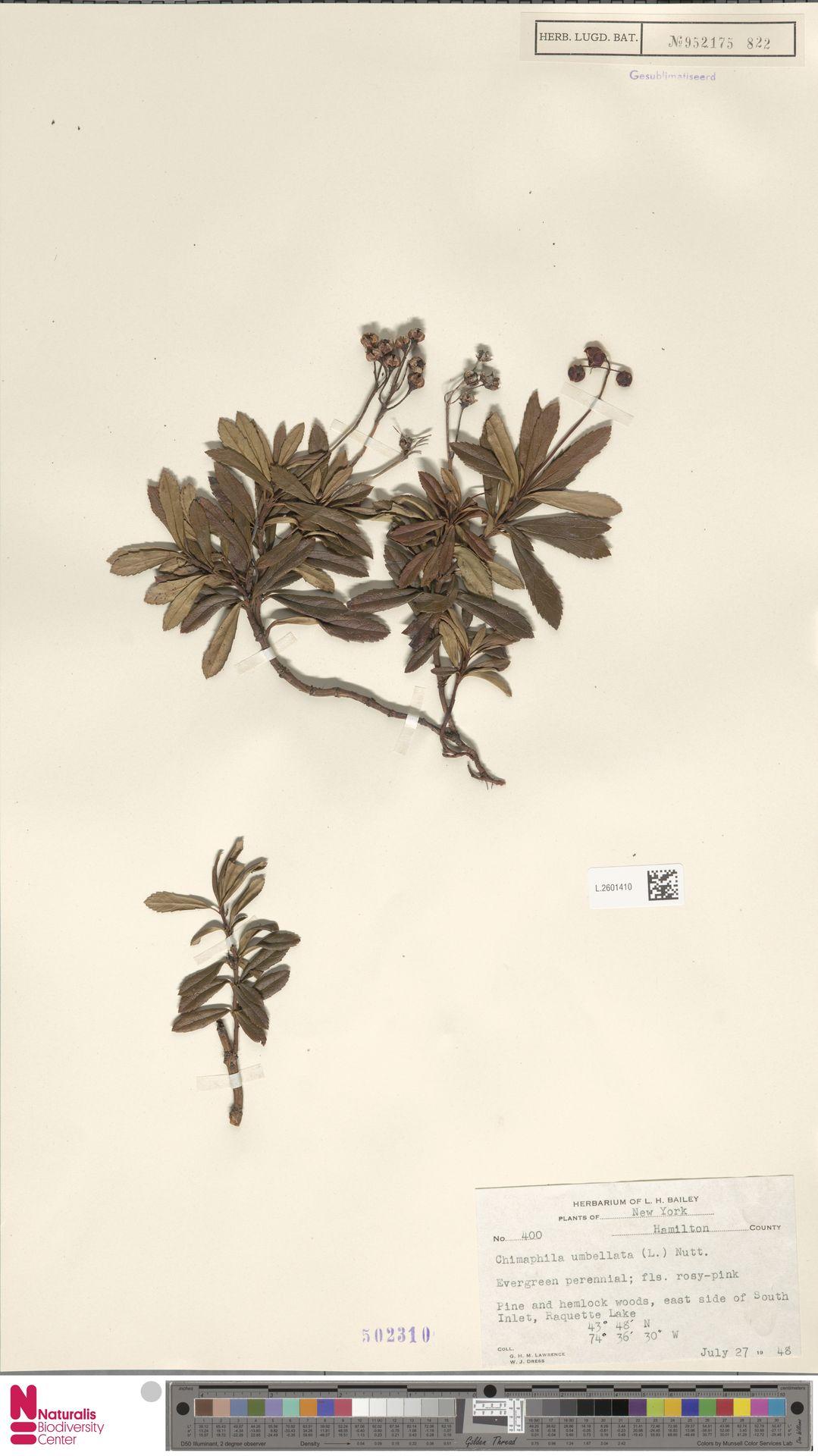 L.2601410 | Chimaphila umbellata (L.) W.C.Barton