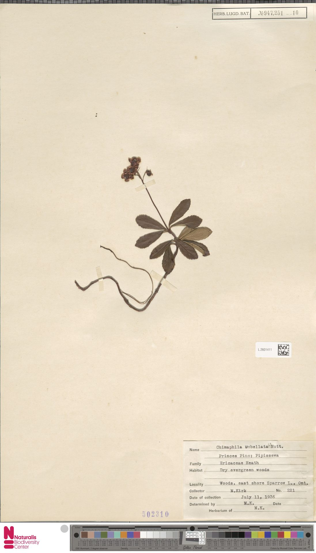L.2601411 | Chimaphila umbellata (L.) W.C.Barton