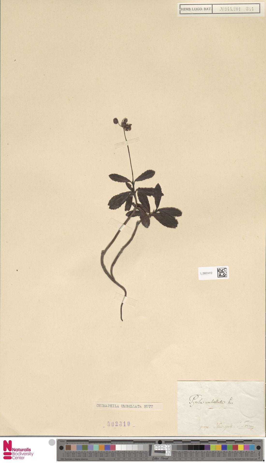 L.2601412 | Chimaphila umbellata (L.) W.C.Barton