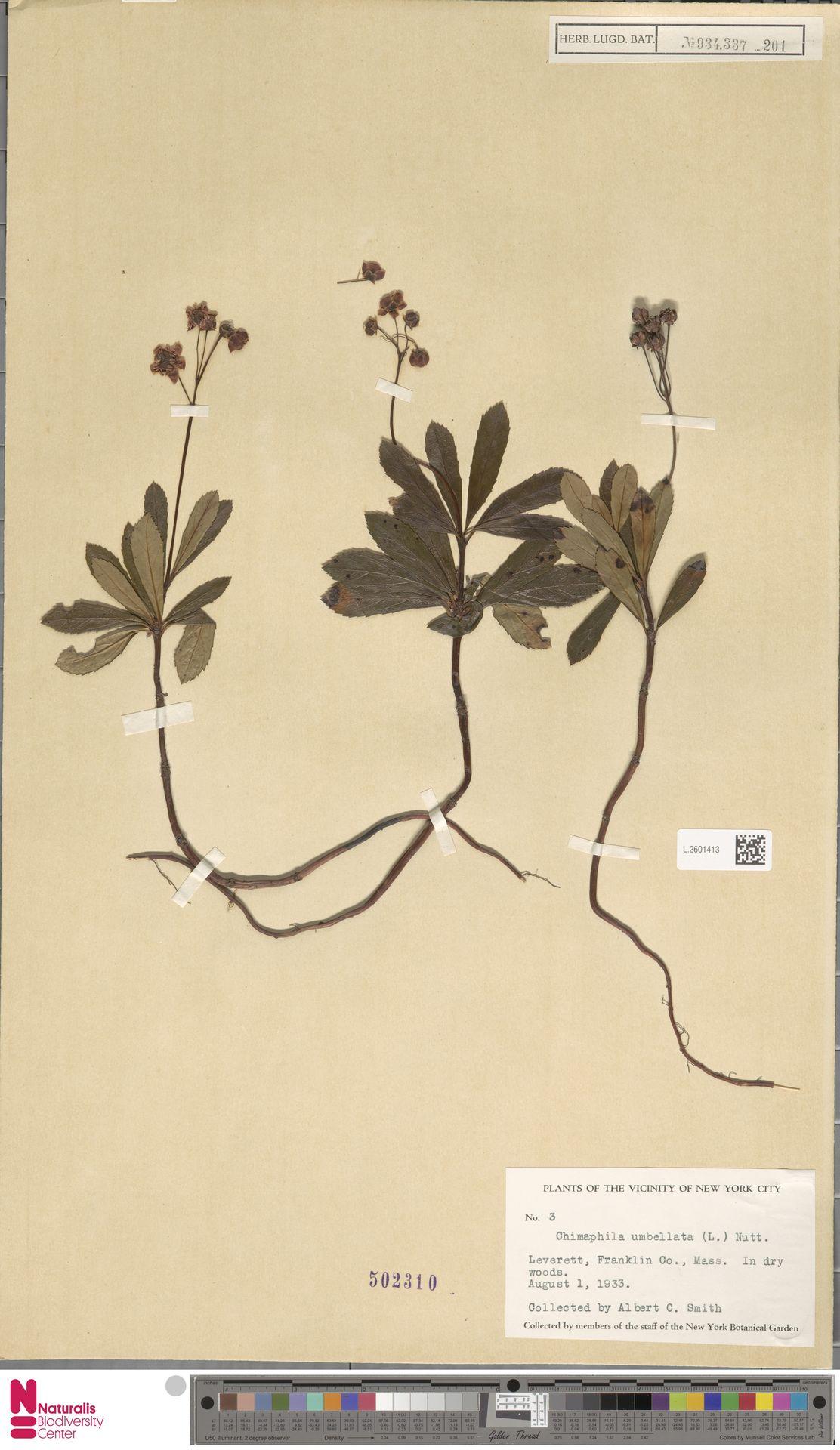 L.2601413 | Chimaphila umbellata (L.) W.C.Barton