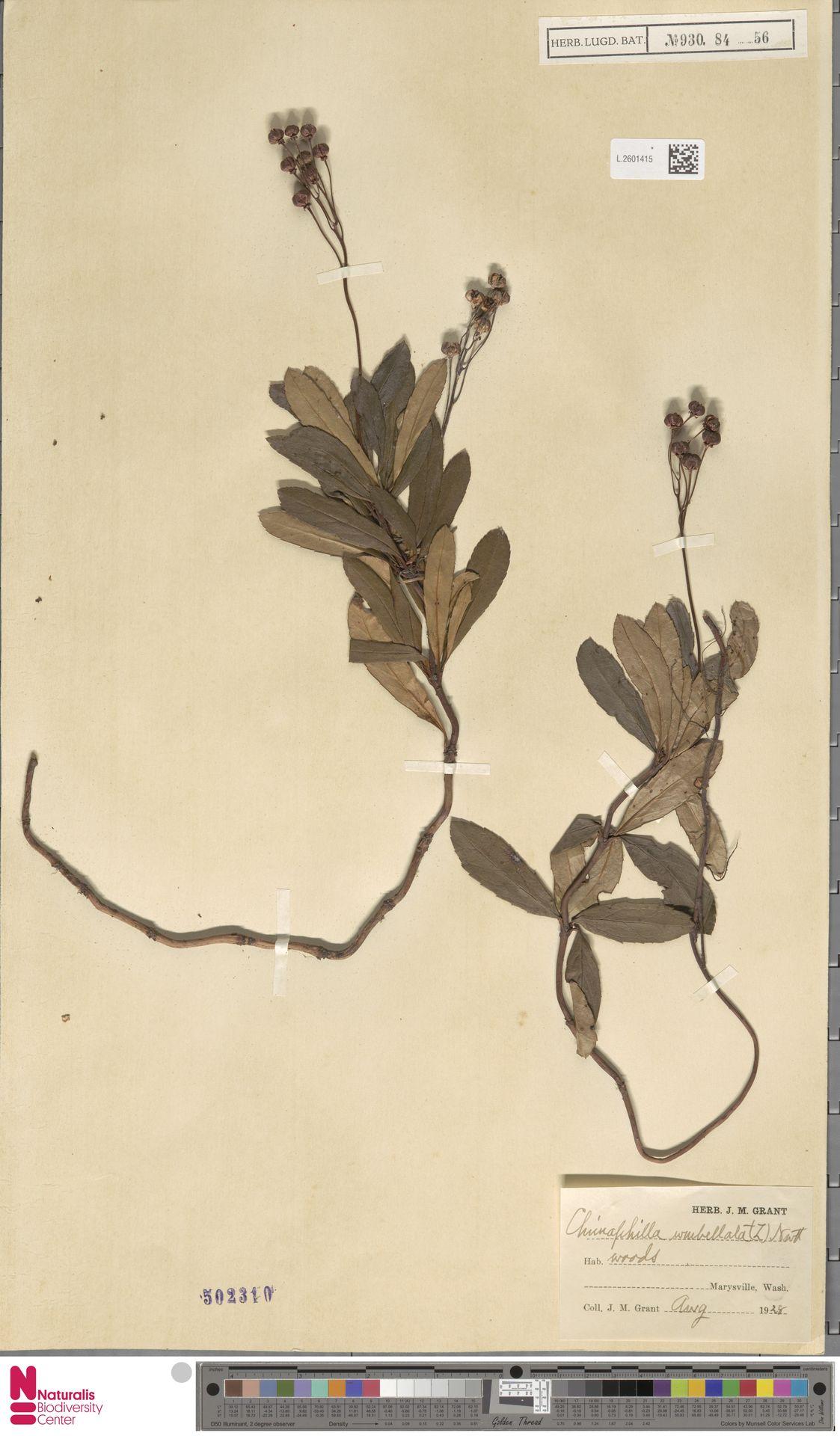 L.2601415 | Chimaphila umbellata (L.) W.C.Barton