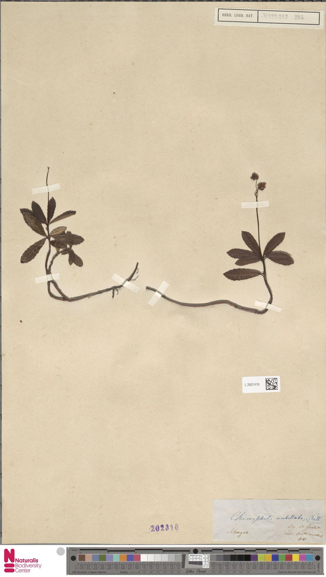 L.2601416   Chimaphila umbellata (L.) W.C.Barton