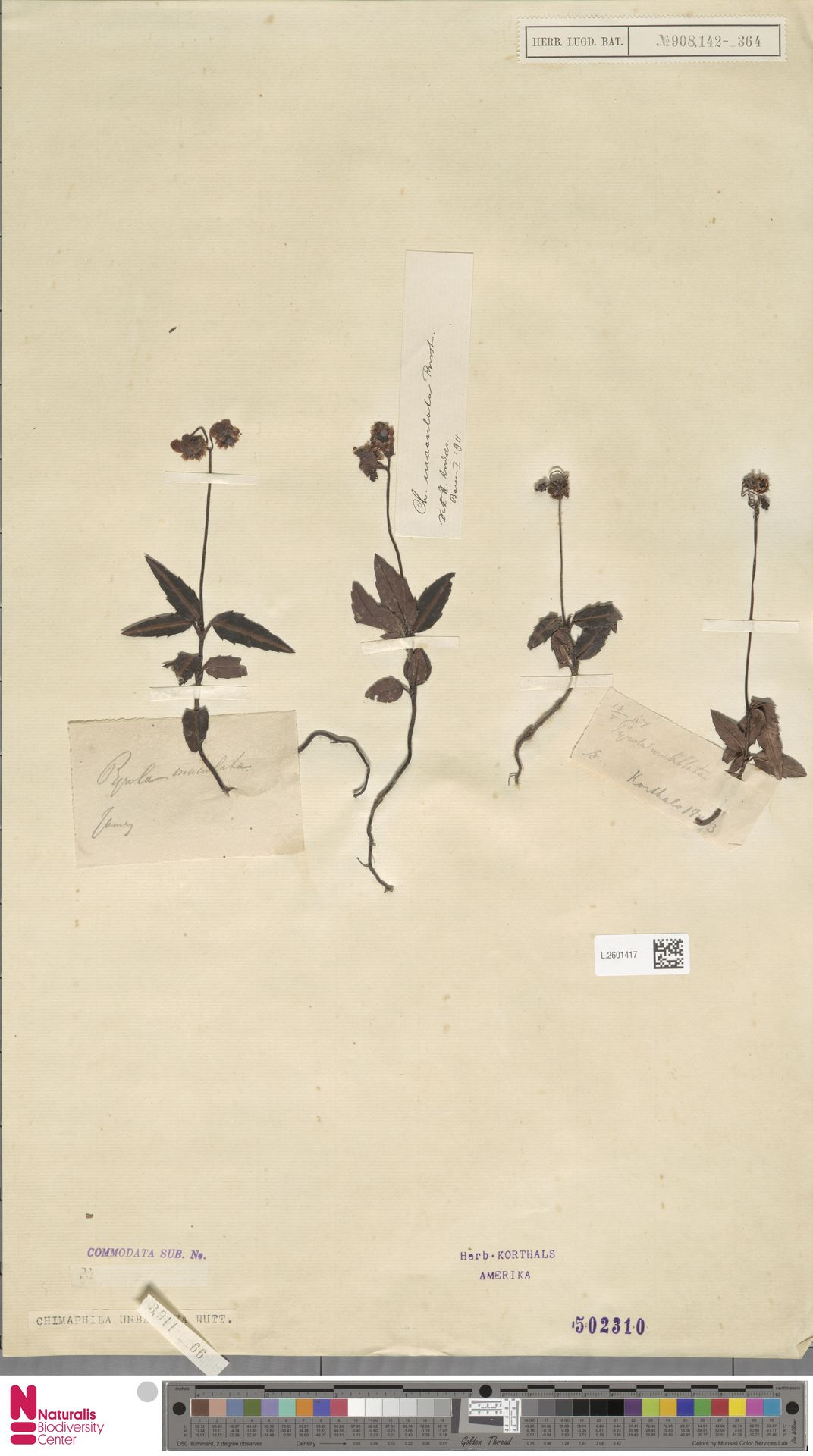 L.2601417 | Chimaphila umbellata (L.) W.C.Barton