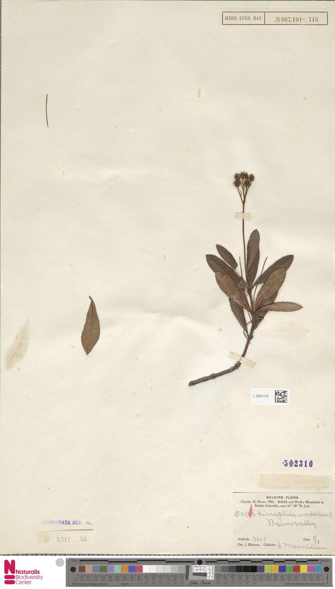 L.2601418 | Chimaphila umbellata (L.) W.C.Barton