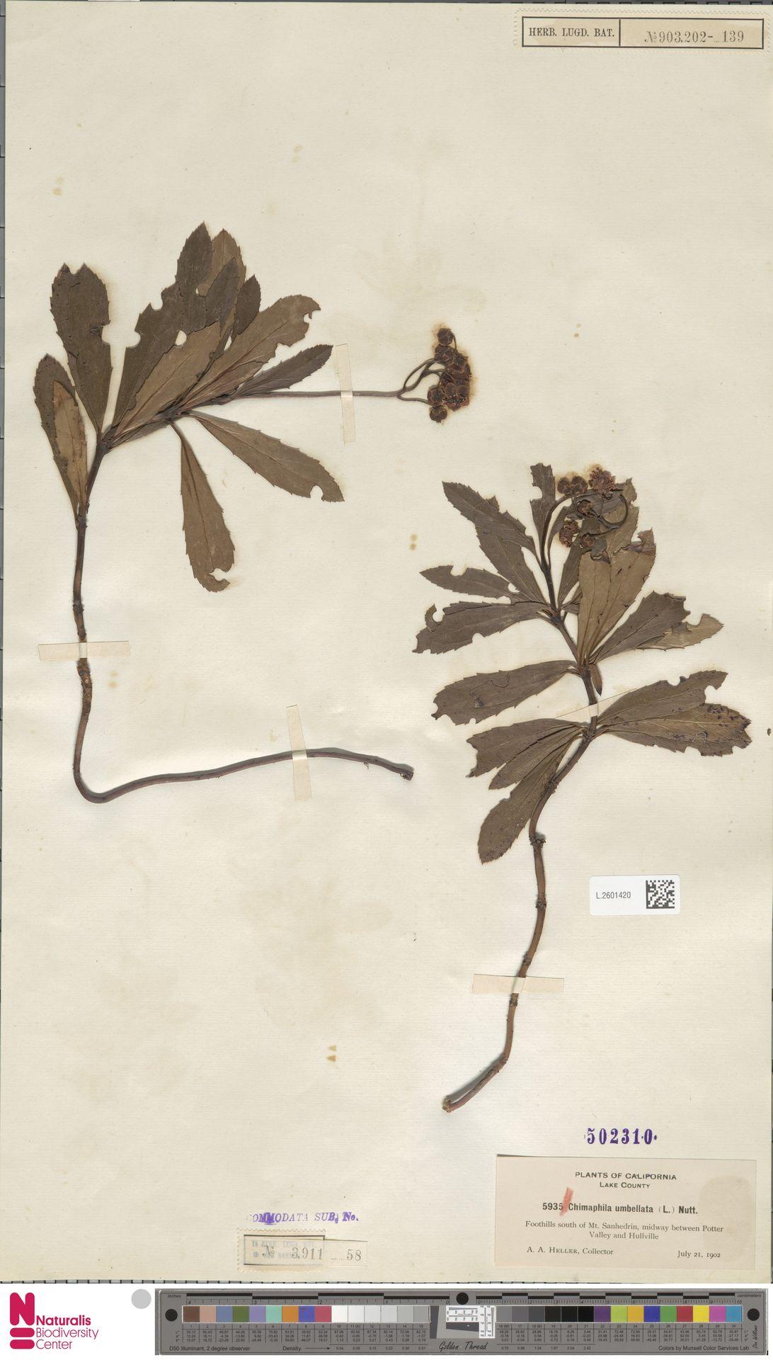 L.2601420 | Chimaphila umbellata (L.) W.C.Barton