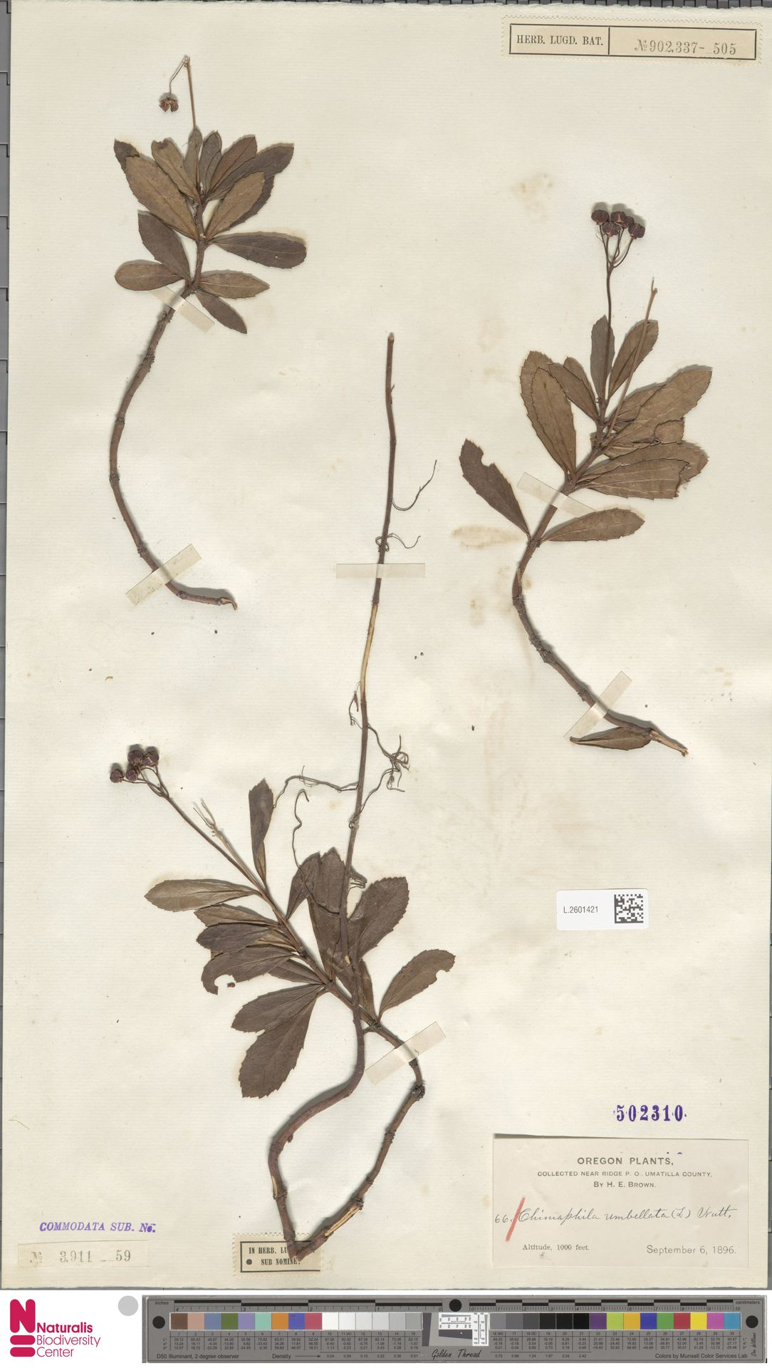 L.2601421 | Chimaphila umbellata (L.) W.C.Barton