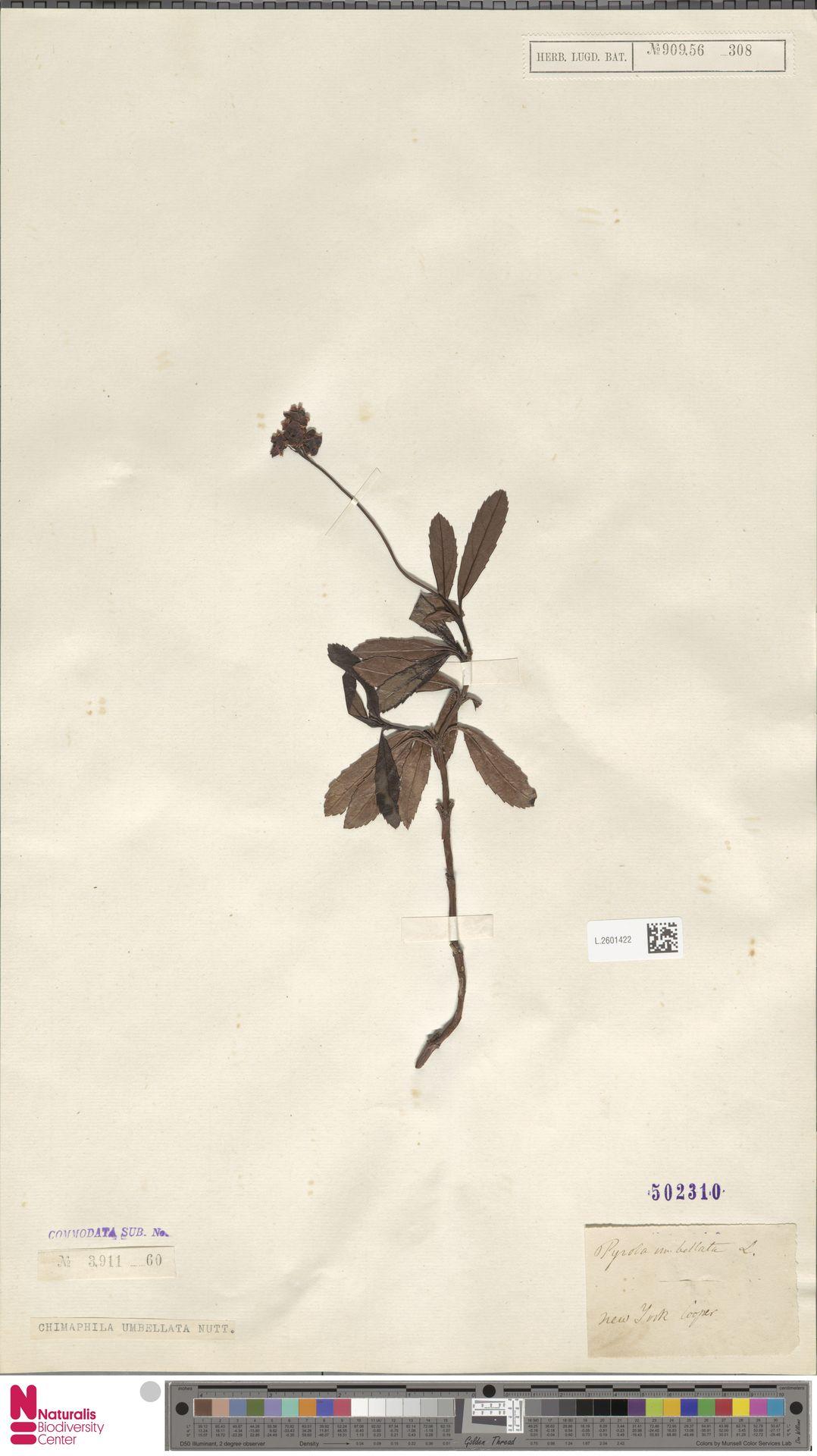 L.2601422 | Chimaphila umbellata (L.) W.C.Barton