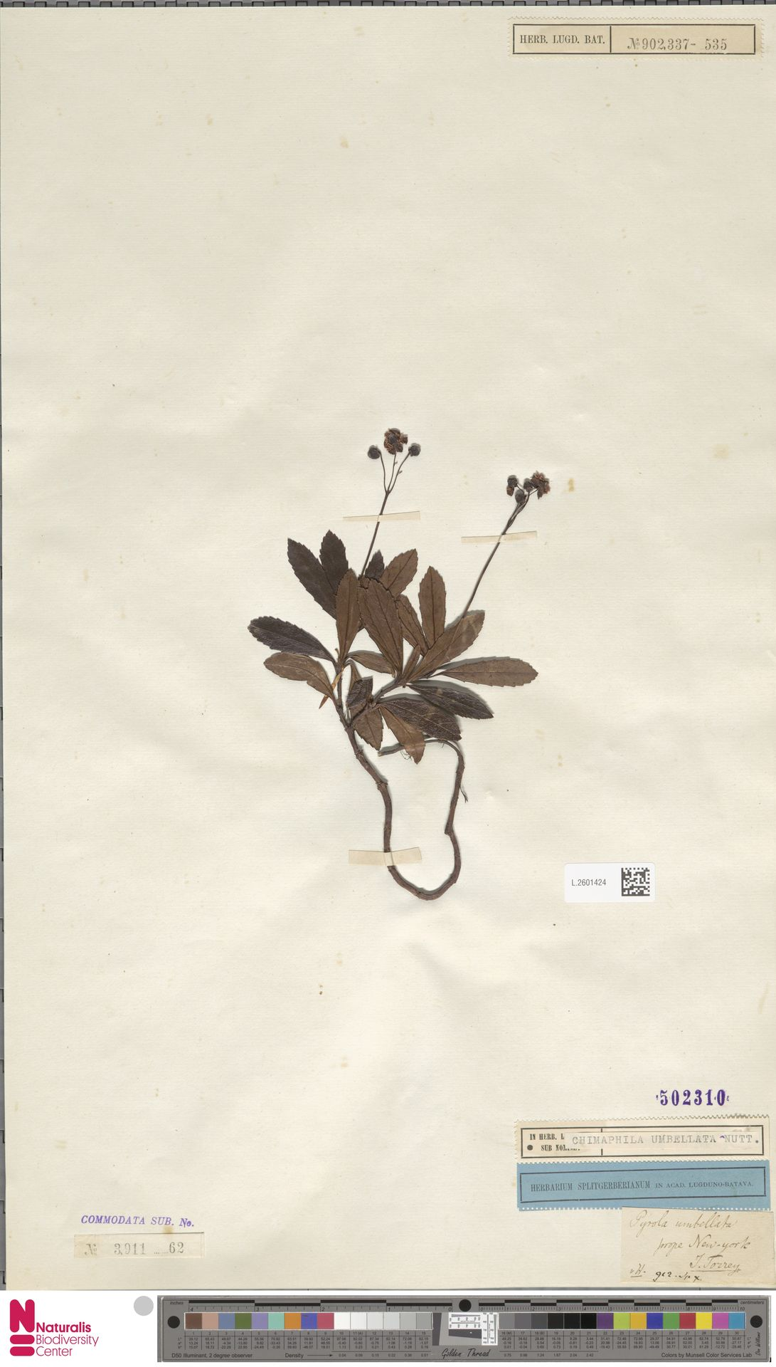 L.2601424 | Chimaphila umbellata (L.) W.C.Barton
