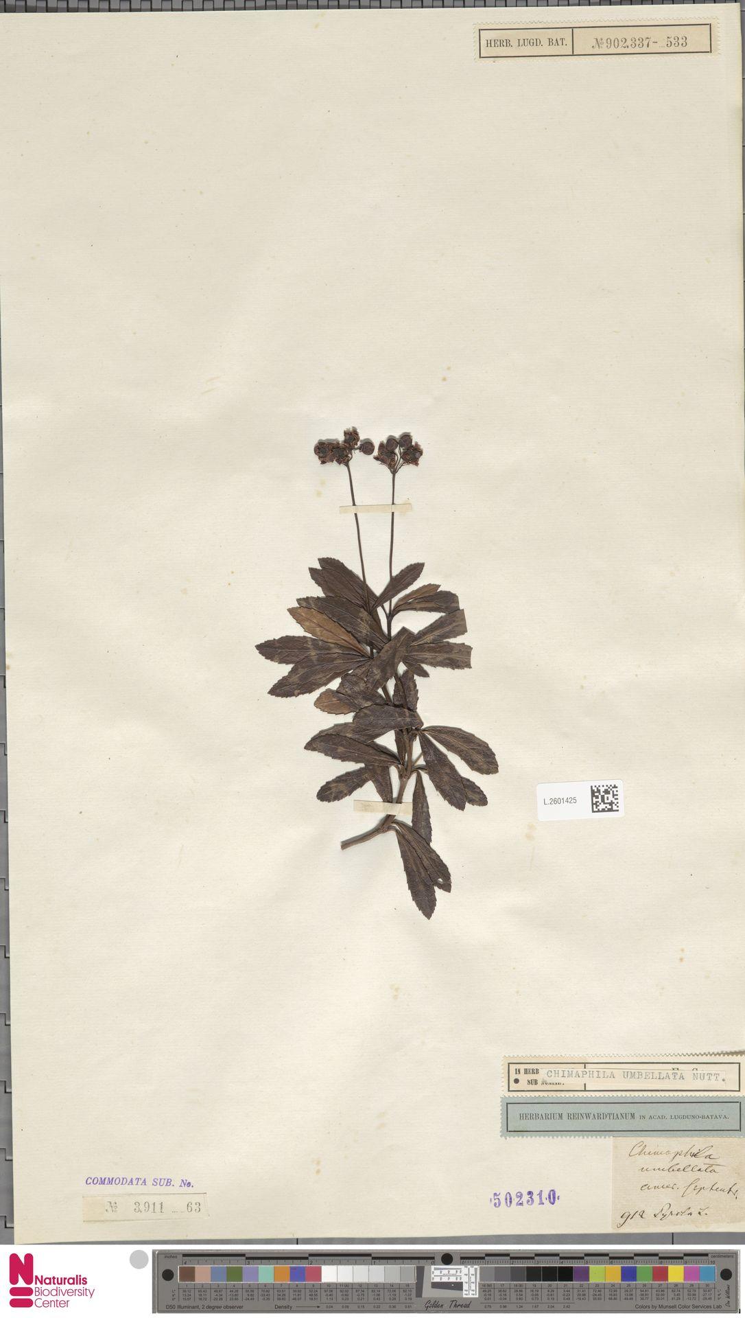 L.2601425 | Chimaphila umbellata (L.) W.C.Barton
