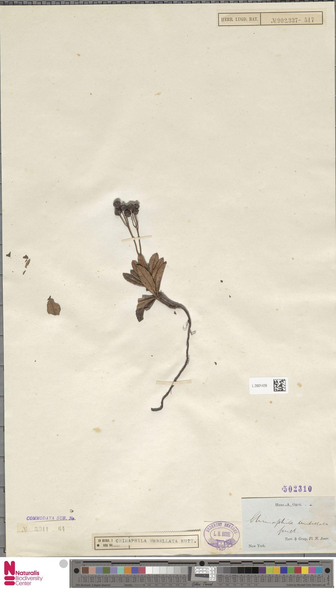 L.2601426 | Chimaphila umbellata (L.) W.C.Barton